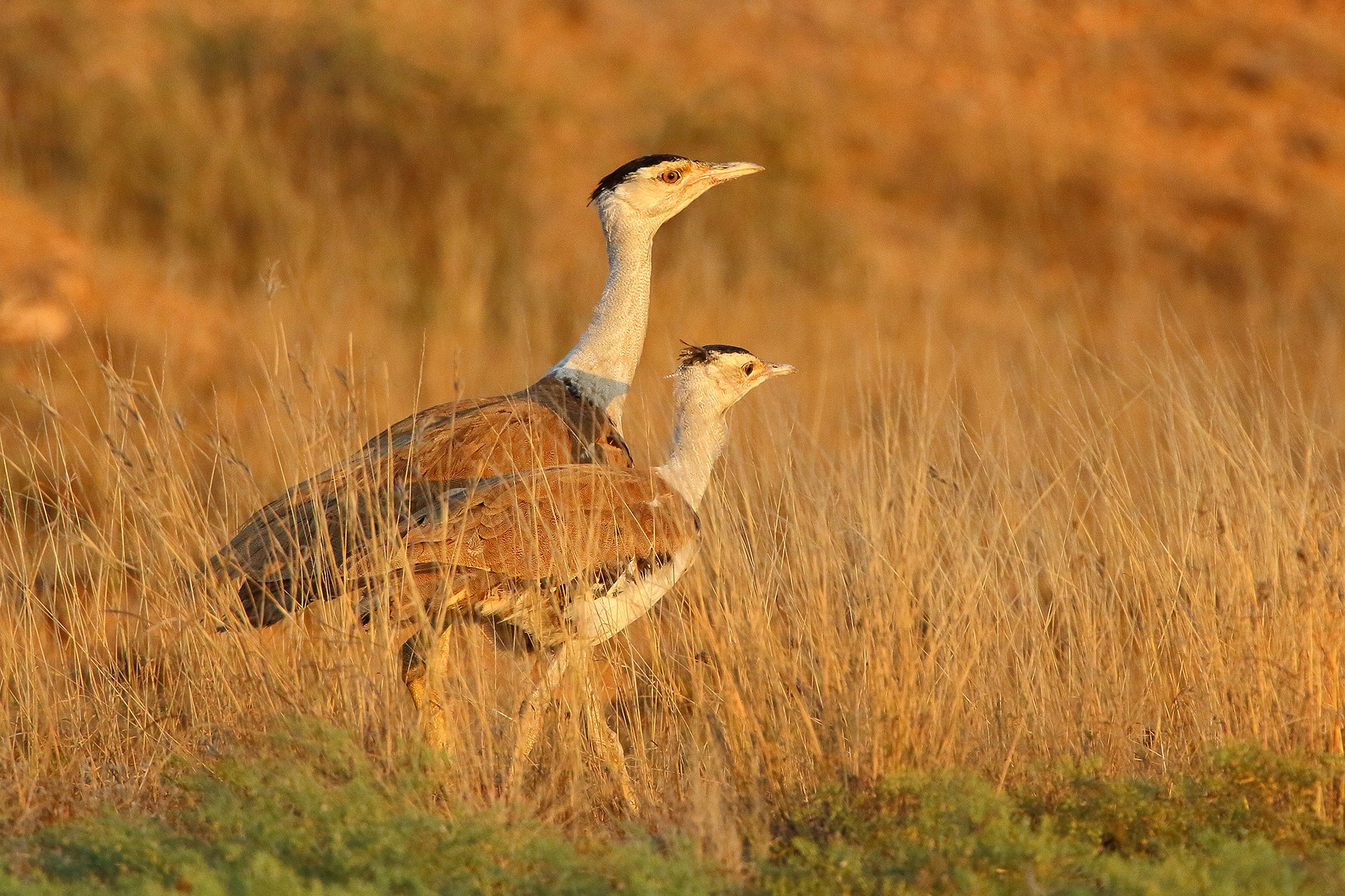 "In response to the dwindling numbers of the great Indian bustard, the Wildlife Institute of India and the Rajasthan Forest Department started a conservation breeding programme, where they are currently observing and scientifically raising ten birds. ""In 3-4 years, we have to develop a stock of 35-40 captive birds to kickstart conservation breeding,"" says Dr Rahmani, ""so the birds can be released in another 5-6 years' time.""  Photo: Devesh Gadhavi"