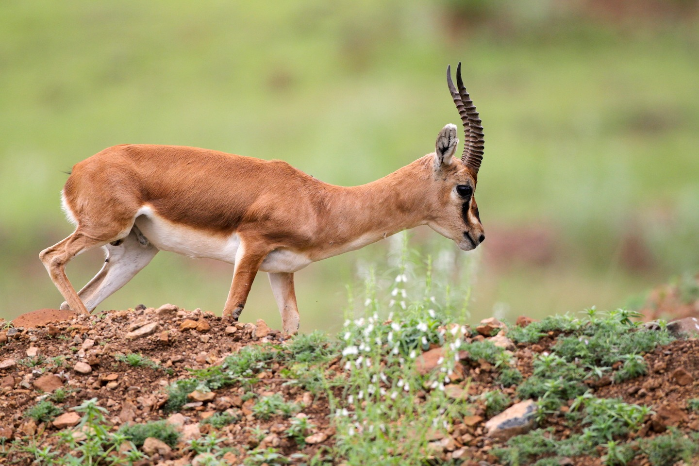 Both, male and female chinkaras have straight horns with prominent rings. Photo: Mihir Godbole