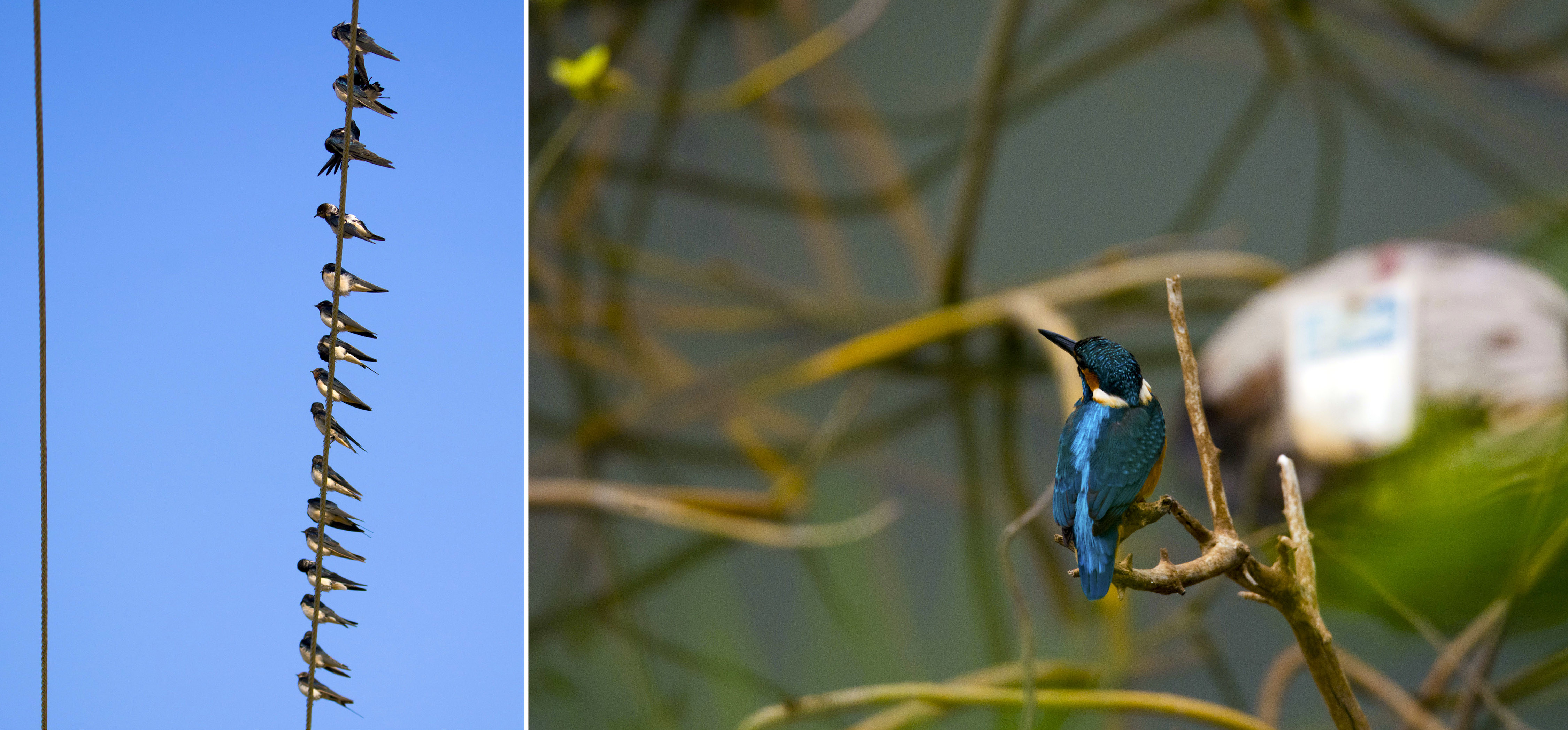Barn swallows preen as they sit on an electric wire that runs around the lake (left). The brilliant colours on the common kingfisher are a stark contrast to the backdrop at Hoskote Lake (right). Photo: Samuel John
