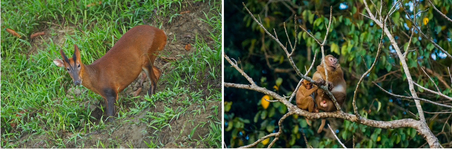 In a forest this lush, sound can be a great guide to spotting animals. Keep your ears cocked for the distinctive call of the barking deer, and the quieter Assamese macaque. Photos: Dhritiman Mukherjee (left), Sutirtha Lahiri (right)