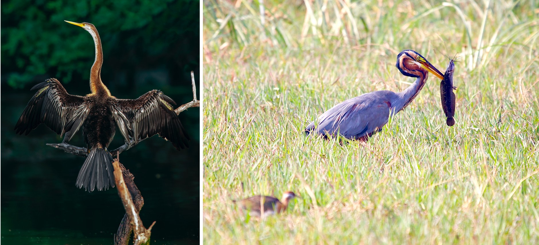 The oriental darter has a long, slender snake-like neck that often sticks out of the water while it's swimming, making it look like a snake is riding on calm waters (left). The purple heron is a winter visitor to India, and feeds on fish, rodents, reptiles, and insects (right). Photo: Dhritiman Mukherjee (left), Photo: Kandukuru Nagarjun (right)