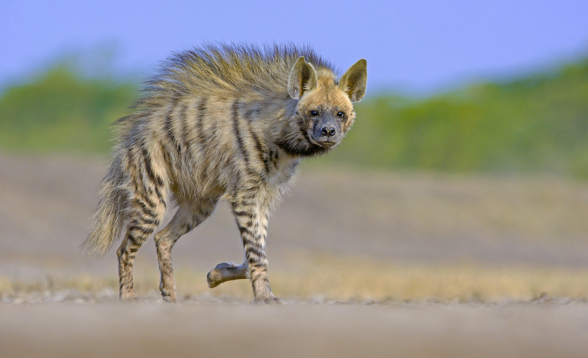 The jungle cat (top) and striped hyena (above) are both formidable land carnivores in the Little Rann of Kutch. The jungle cat is considered largely solitary while hyenas are more social in nature.