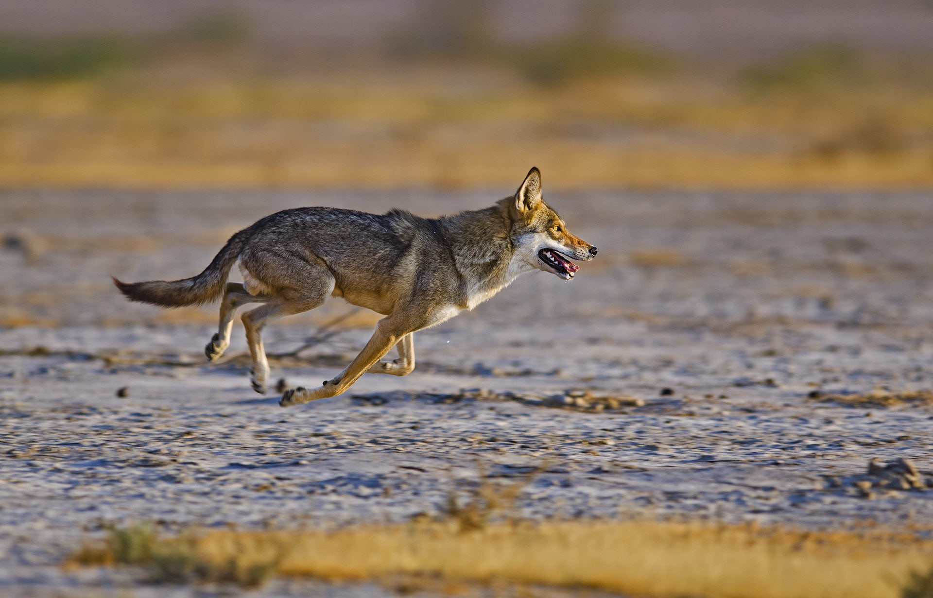 The Indian wolf is a pack animal that hunts over large range areas. Numbers of this endangered species are dwindling due to hunting and habitat destruction.