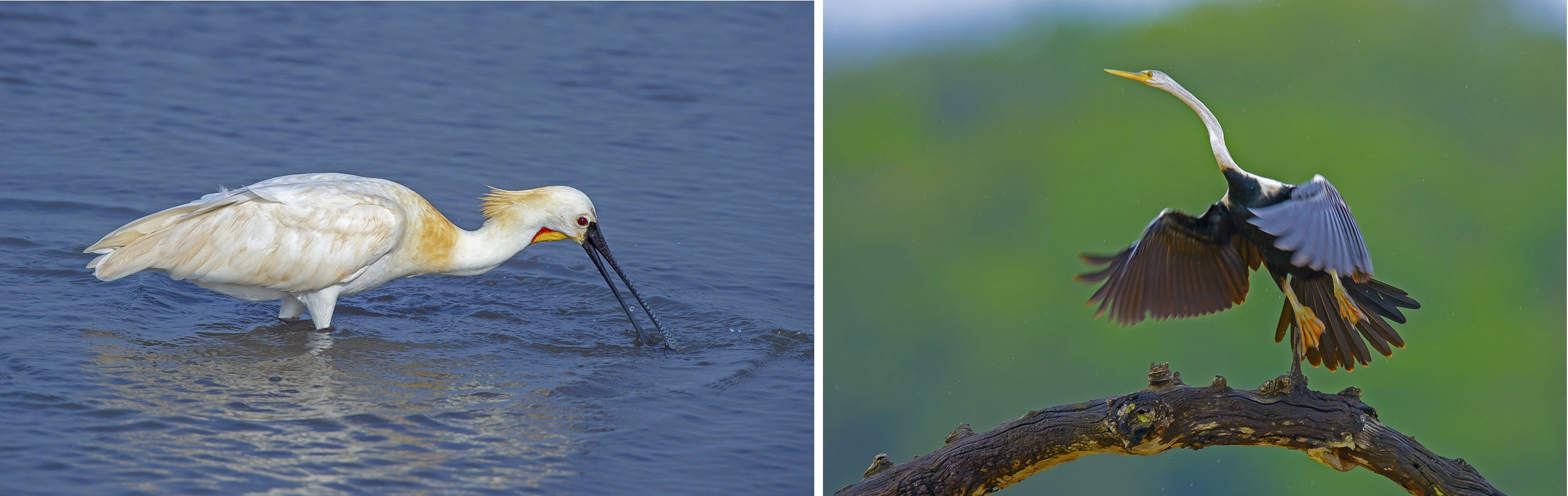 From the spoonbill (left) to the Indian darter (right), Kabini's plethora of bird life ensures there's as much going on in the branches as there is on the ground. Photos: Dhritiman Mukherjee