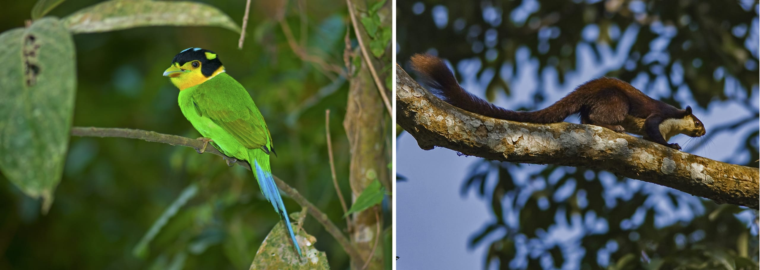 The diversity of life supported by the forest canopy is staggering. From mammals such as the Malayan giant squirrel (right) to moss and neon-coloured birds like the broadbill longtail (left). Photos: Dhritiman Mukherjee