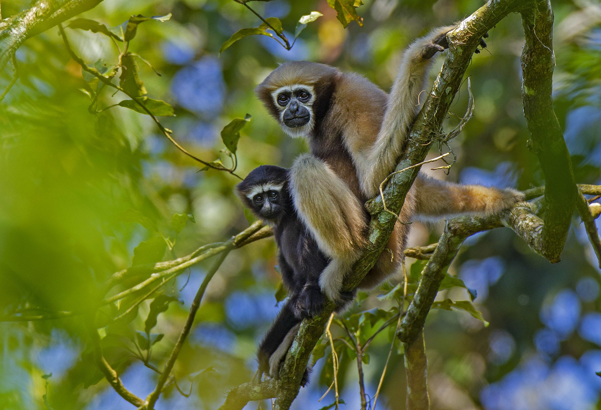 Hoolock gibbons are arboreal apes, that spend most of their lives swinging from treetops, and snacking on fruit. There are 19 species of gibbons in the world. Photo: Dhritiman Mukherjee
