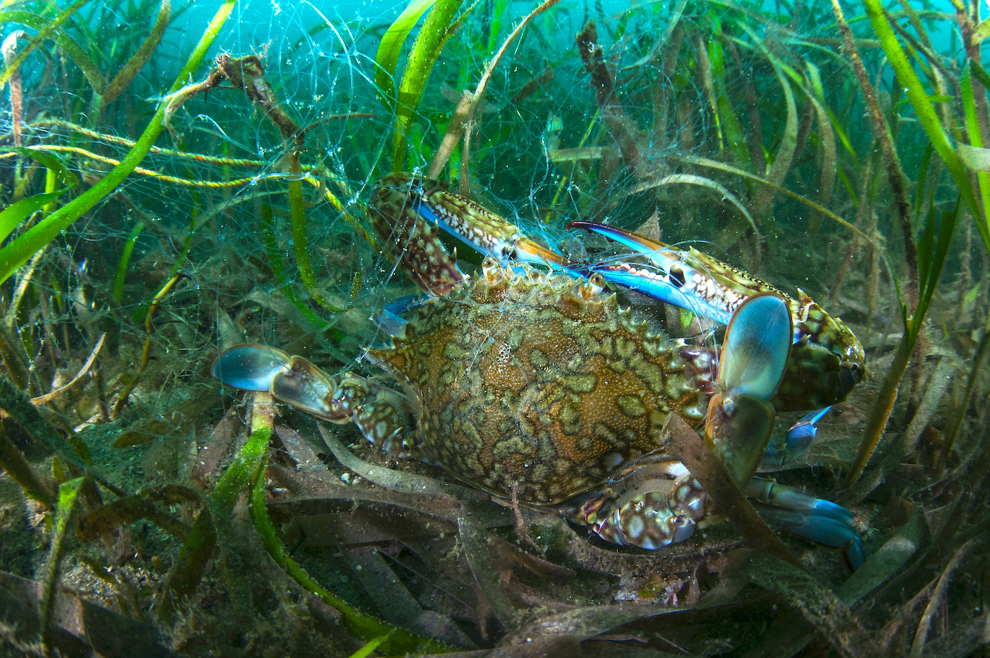 Crabs(Portunus sps) love seagreass beds for the abundant matter they can feed on, but these shallow residences mean they are also easier tangled in a fishing net. Photo: Umeed Mistry