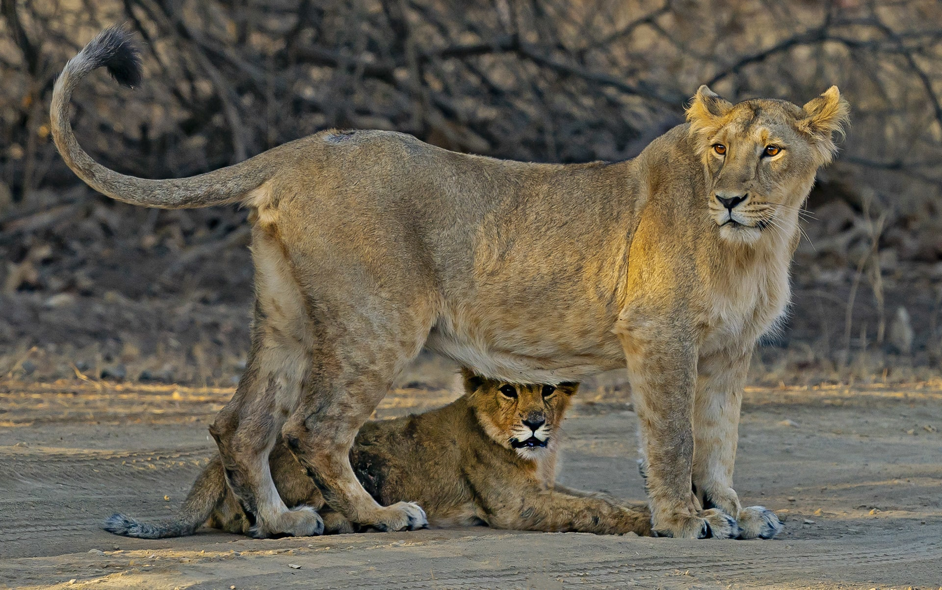 """Infanticide is common behaviour among large cats, and females such as this lioness with her cub seemingly have little choice in the matter. Photo: Dhritiman Mukherjee  Cover photo: Female tigers copulate with dominant males, as in this instance in Bandhavgarh, but they also mate with """"floaters"""", ones that don't have a territory to call their own. Cover photo: Shivang Mehta"""
