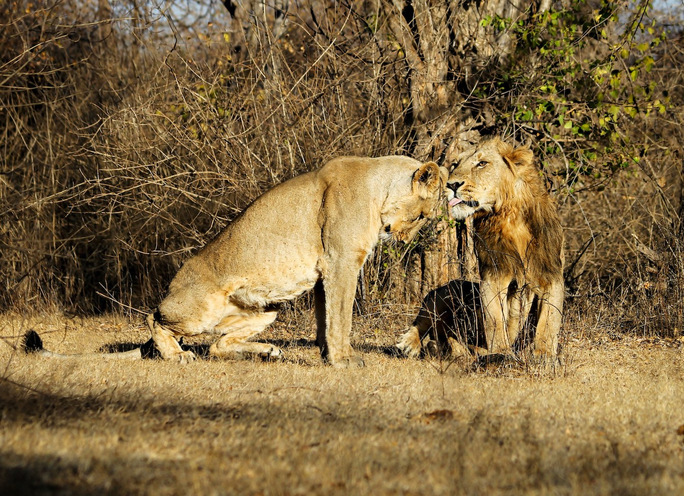 Asian lionesses mate with the males that they meet most often. Photo: Stotra Chakrabarti