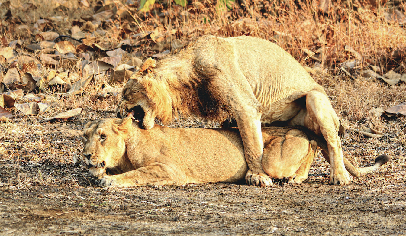 Asian lionesses seek lions living on the fringes and copulate with them as well. Photo: Stotra Chakrabarti