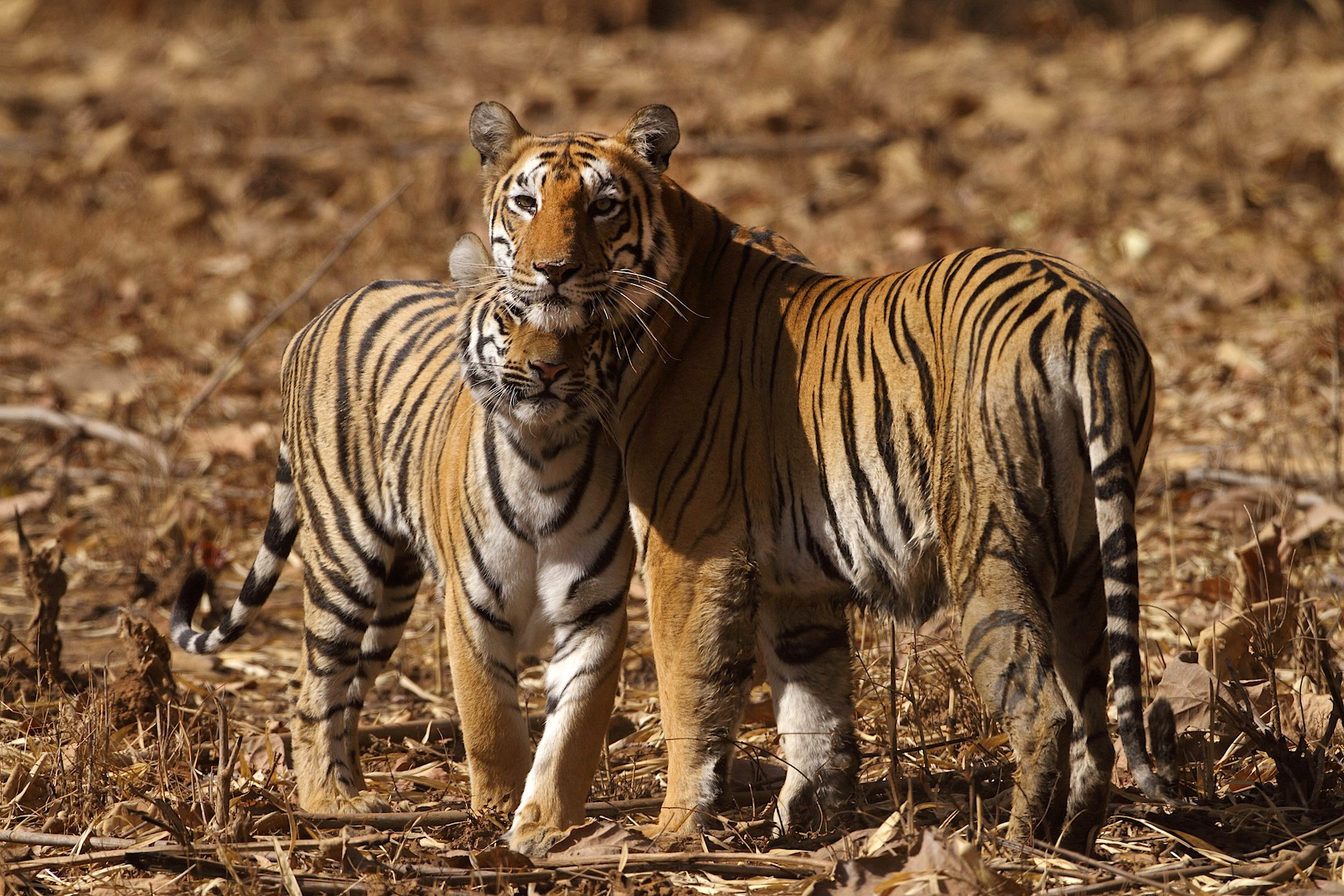 Mother tigers, like this one photographed in Tadoba, forestall male violence against their cubs by mating even when they are not in heat. Photo: Shivang Mehta