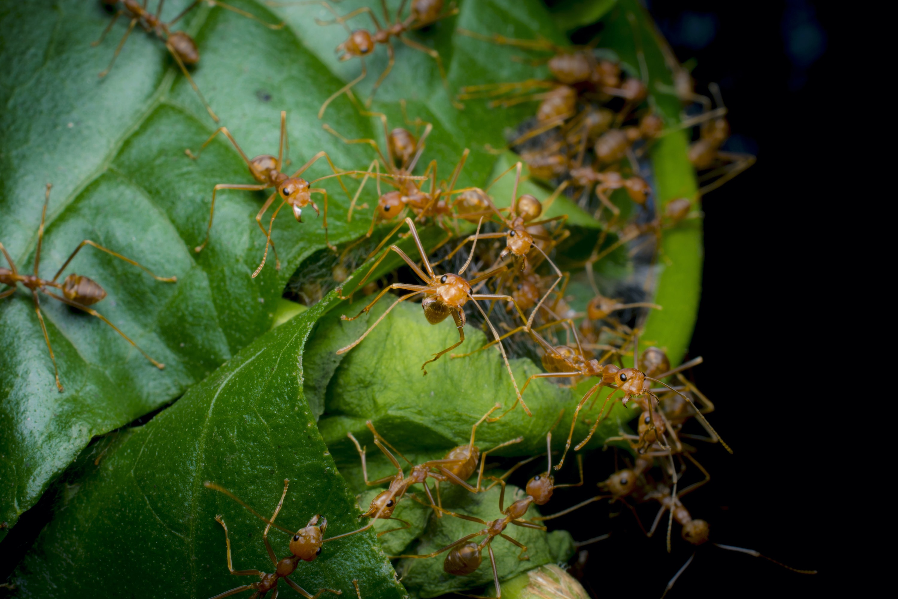 At the site of a weaver ant nest under construction, a group of weavers go into defense mode when they sense the presence of the photographer.  Cover photo: A group of weaver ants make quick work of a caterpillar that crossed paths with them.