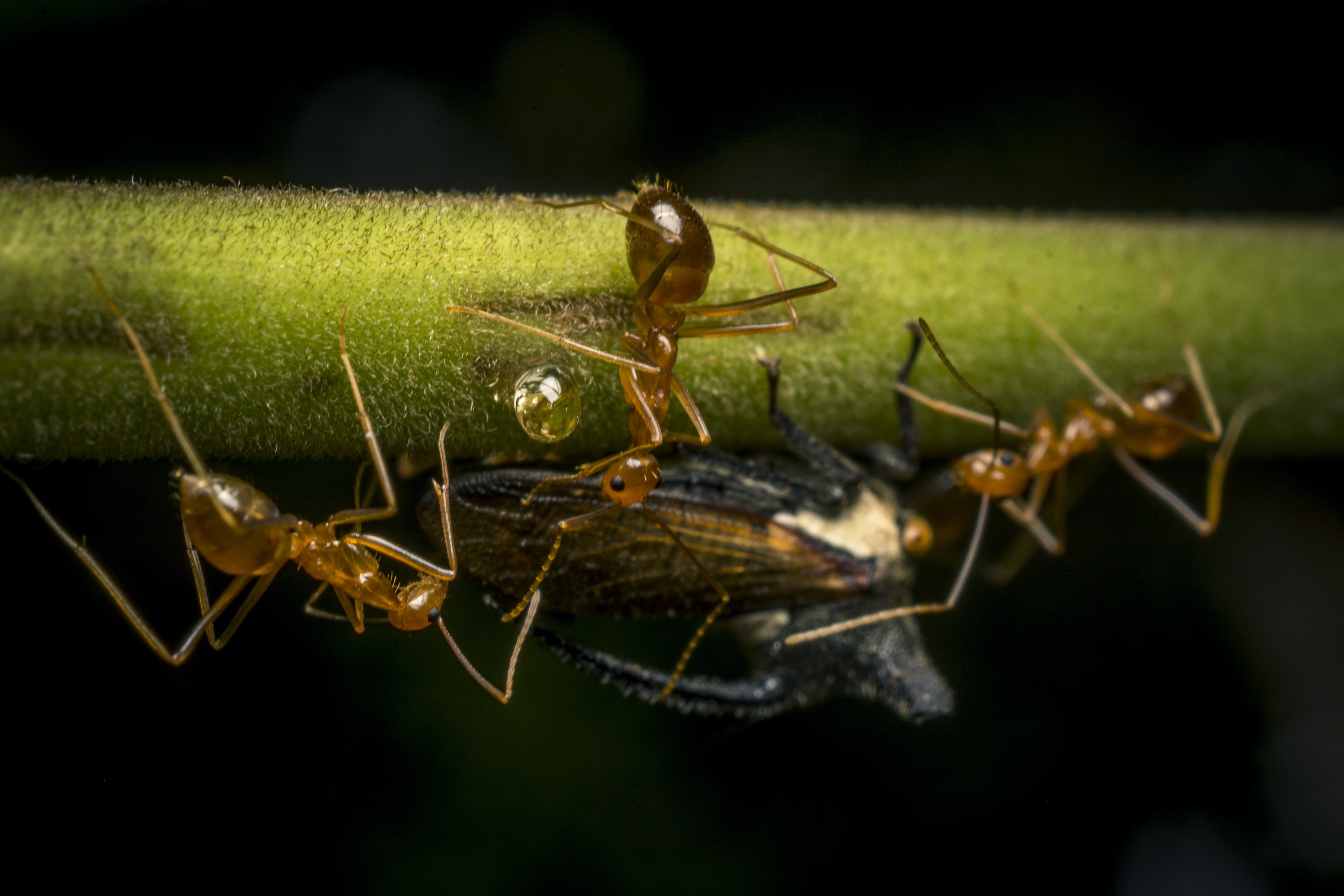 Weaver ants gather to collect a drop of honeydew from a sap-sucking insect.