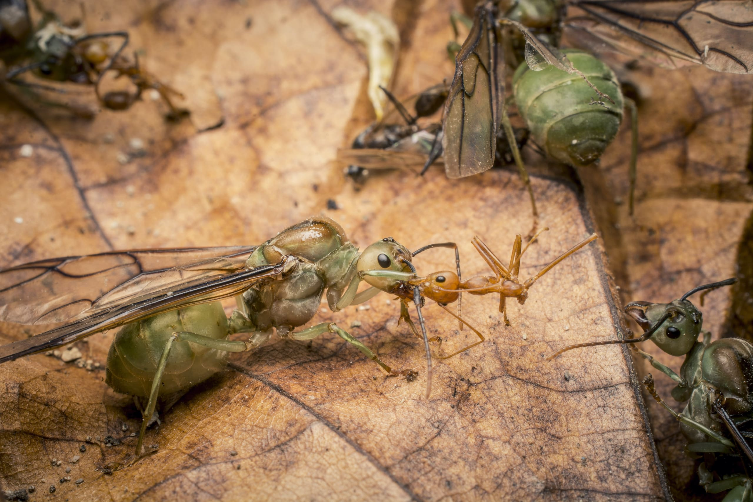 A worker from a nearby colony attacks a recently mated queen that has fallen to the ground.