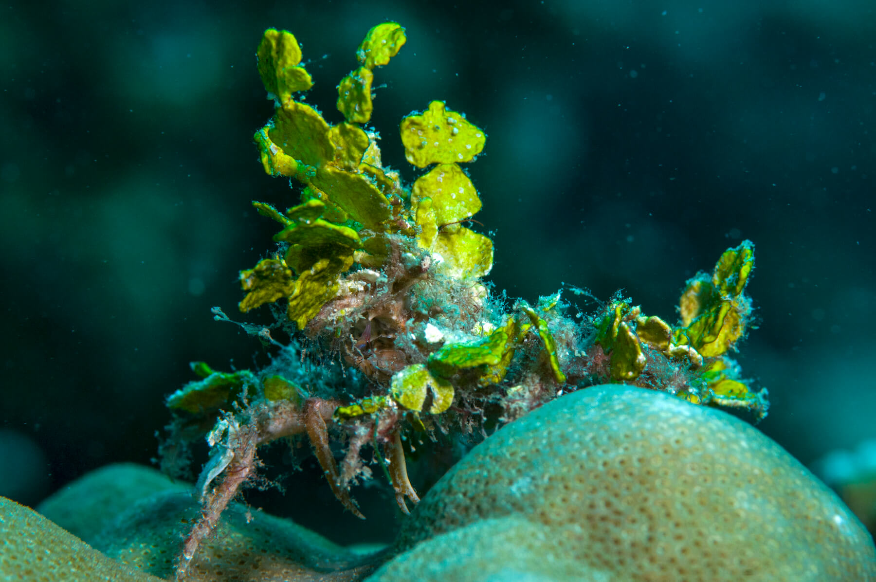 A decorator crab impersonating a clump of calcareous Halimeda algae. If you are unable to spot its head or eyes, that is mission accomplished for this crab.
