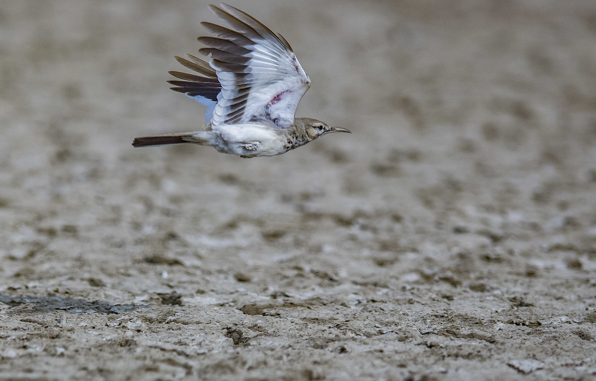 Spotting a greater hoopoe lark is not easy as it camouflages perfectly with its arid surroundings. You often only see them when they are in flight, once they reveal their striking black and white wings.
