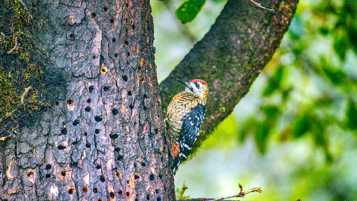 A fulvous-breasted woodpecker (Dendrocopos macei) spotted on a tree trunk filled with sap-holes near Munsiyari-Khaliya top range, Uttarakhand. Sap-holes are excavated by woodpeckers for extracting tree sap. Photo: kmh4321 CC BY-SA 4.0