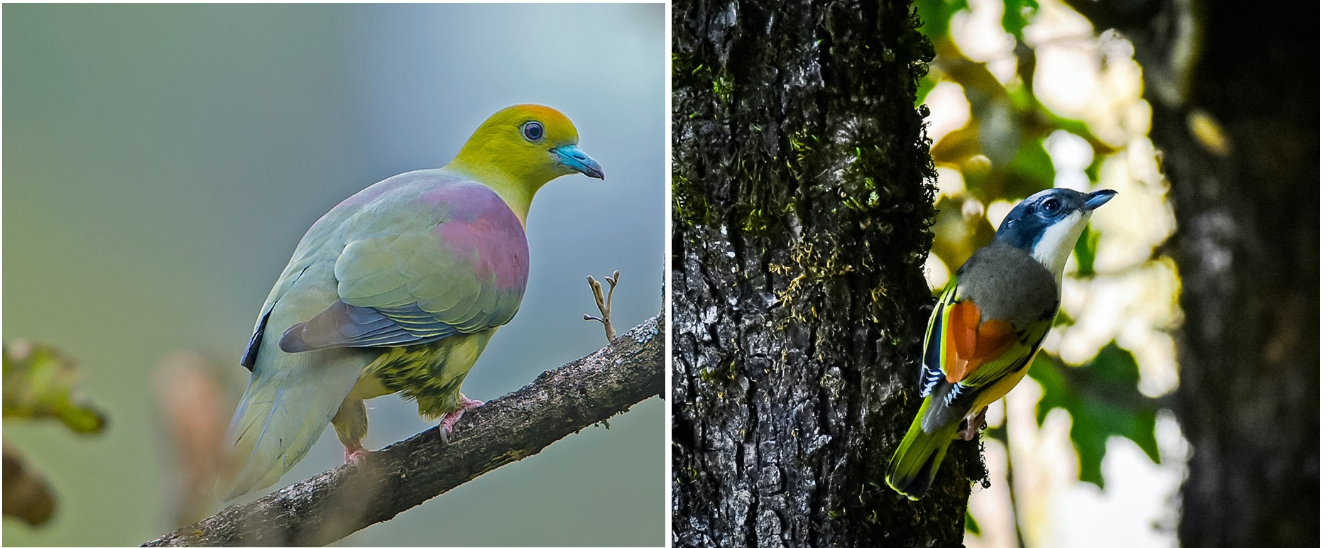 (Left) Wedge-tailed green pigeon is a wide-ranging species that is responsible for seed dispersal of numerous hardwood species in oak forests such as Chopta, Uttarakhand. (Right) The Himalayan shrike babbler is an insectivorous species that prefers oak stands over pine. and is resident through the winter Photo: Koshy Koshy from Faridabad, Haryana, India CC BY 2.0 (left), Jagdish Negi, Almora (right)