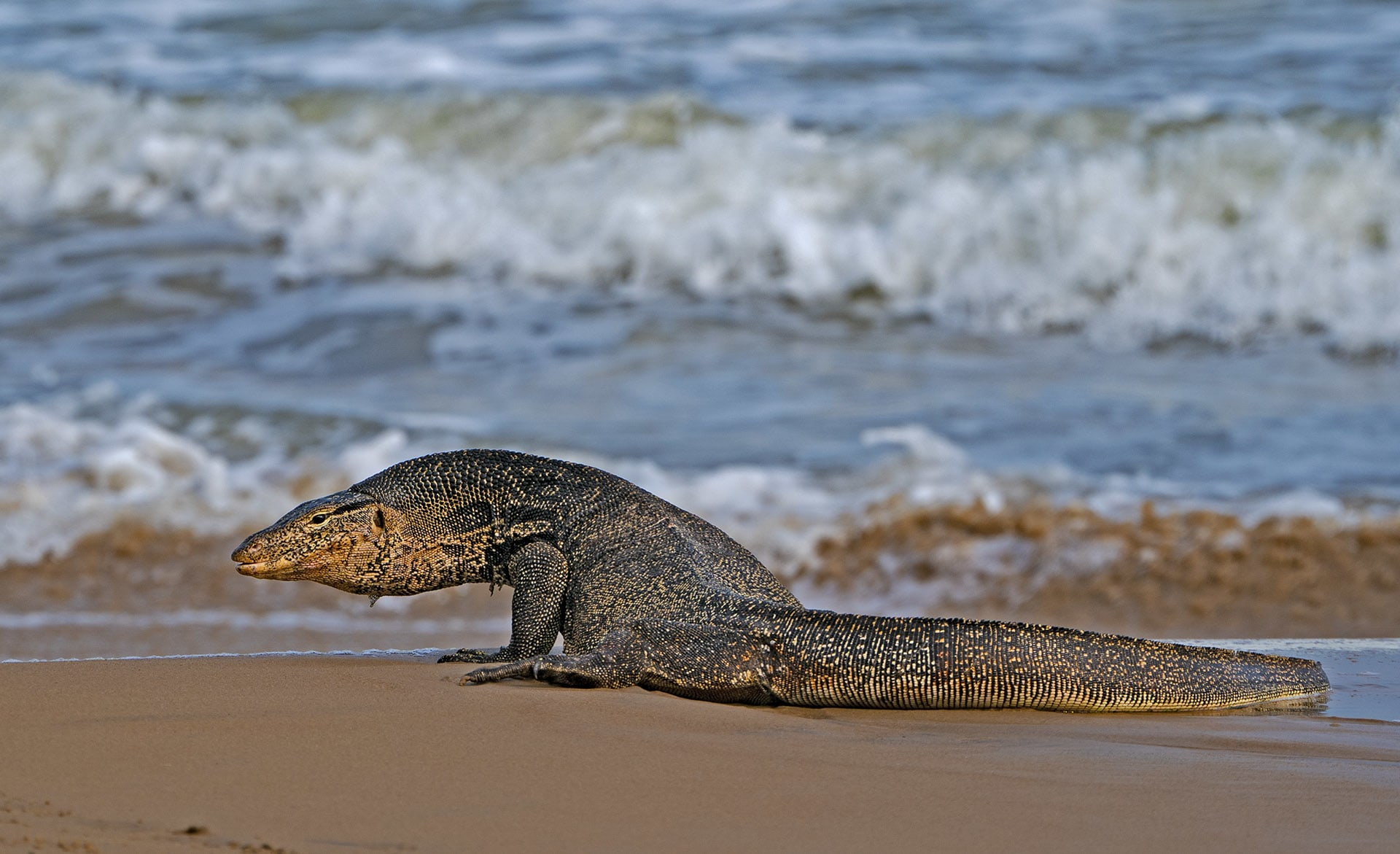 The water monitor lizard, found along the coastal areas of Bay of Bengal, can grow up to nine-feet.