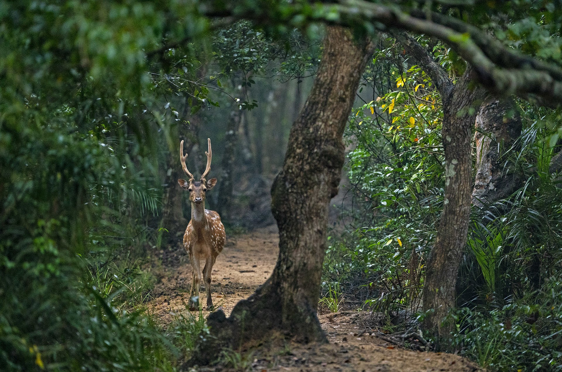 The spotted deer or chital, is the most common deer species in India. In Bhitarkanika, you mostly encounter them on walking trails.