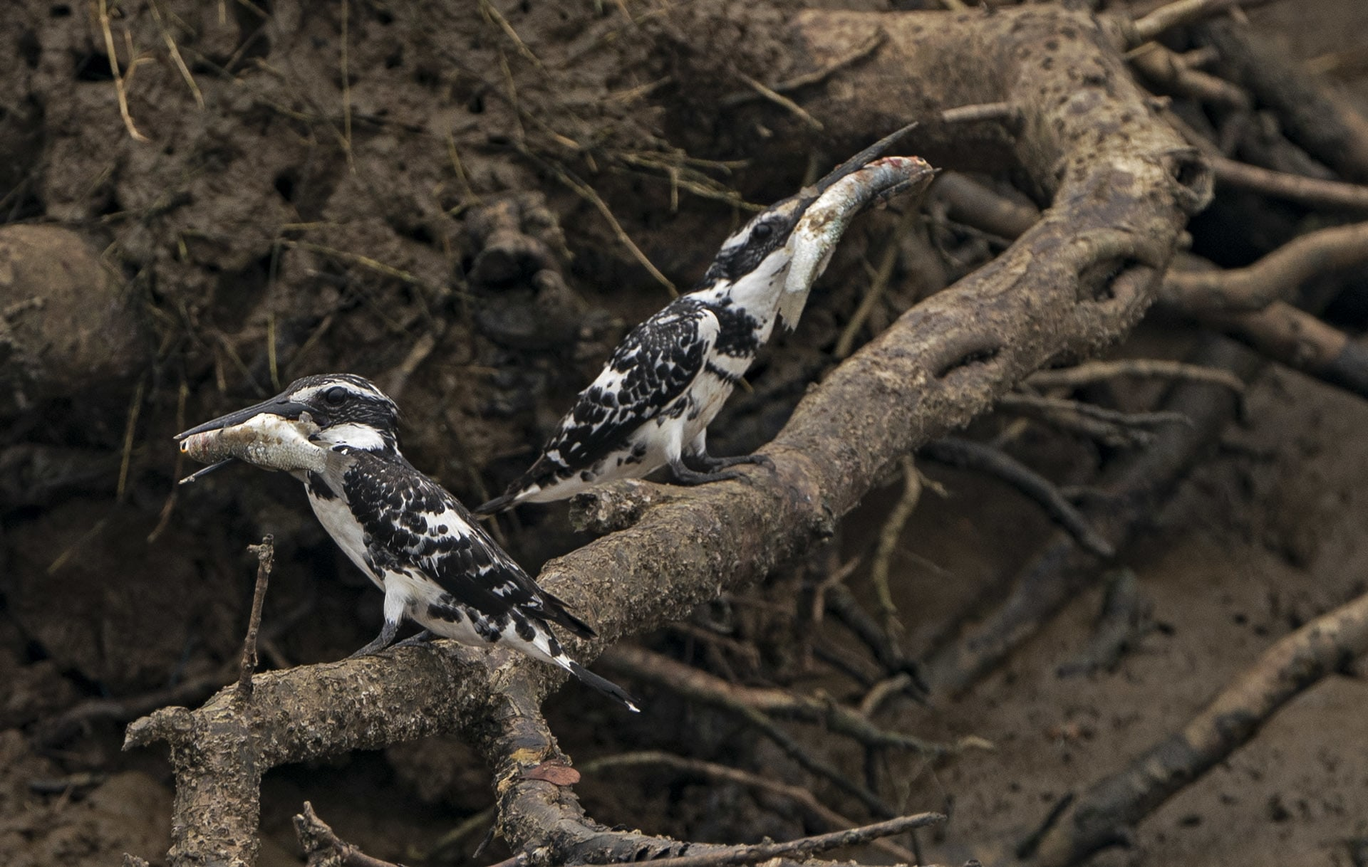 The pied kingfisher hunts in an unusual way. It hovers up to fifty feet above the river and makes a straight 90-degree head-first dive into the water to get hold of fish.