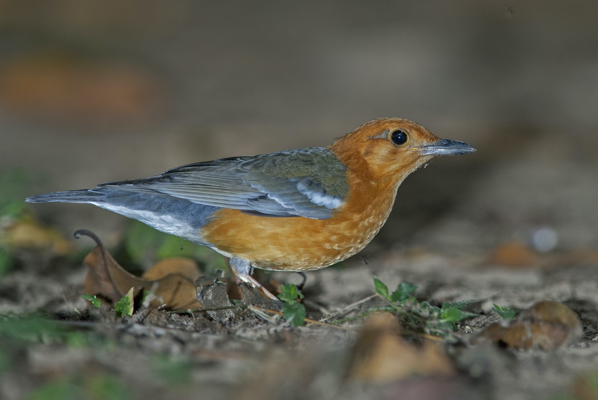 You'll hear the beautiful bird song of the orange-headed thrush, or spot it hopping on forest tracks in the park.