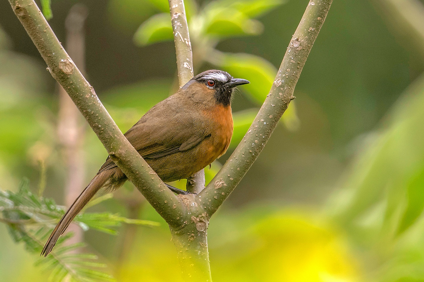 The Nilgiri laughingthrush is seen in stunted montane forests in pairs or flocks, reciting their melodious song and often creating a racket, hence the group is called laughingthrush. Because of its loud song, it is more often heard than spotted.  Photo: Aseem Kothiala  (Top) The Nilgiri laughingthrush made it to an Indian postal stamp circa 2006, as a part of Indian Post's endemic bird series. Birds were first introduced on Indian stamps to create awareness about the diversity of avifauna in India.  Photo: rook76/Shutterstock  The Nilgiri laughingthrush is easily recognised by its black chin and a striking, unmistakable white eyebrow that makes it look like its wearing a stern, serious expression. Cover photo: Antony Grossy CC BY-SA 4.0