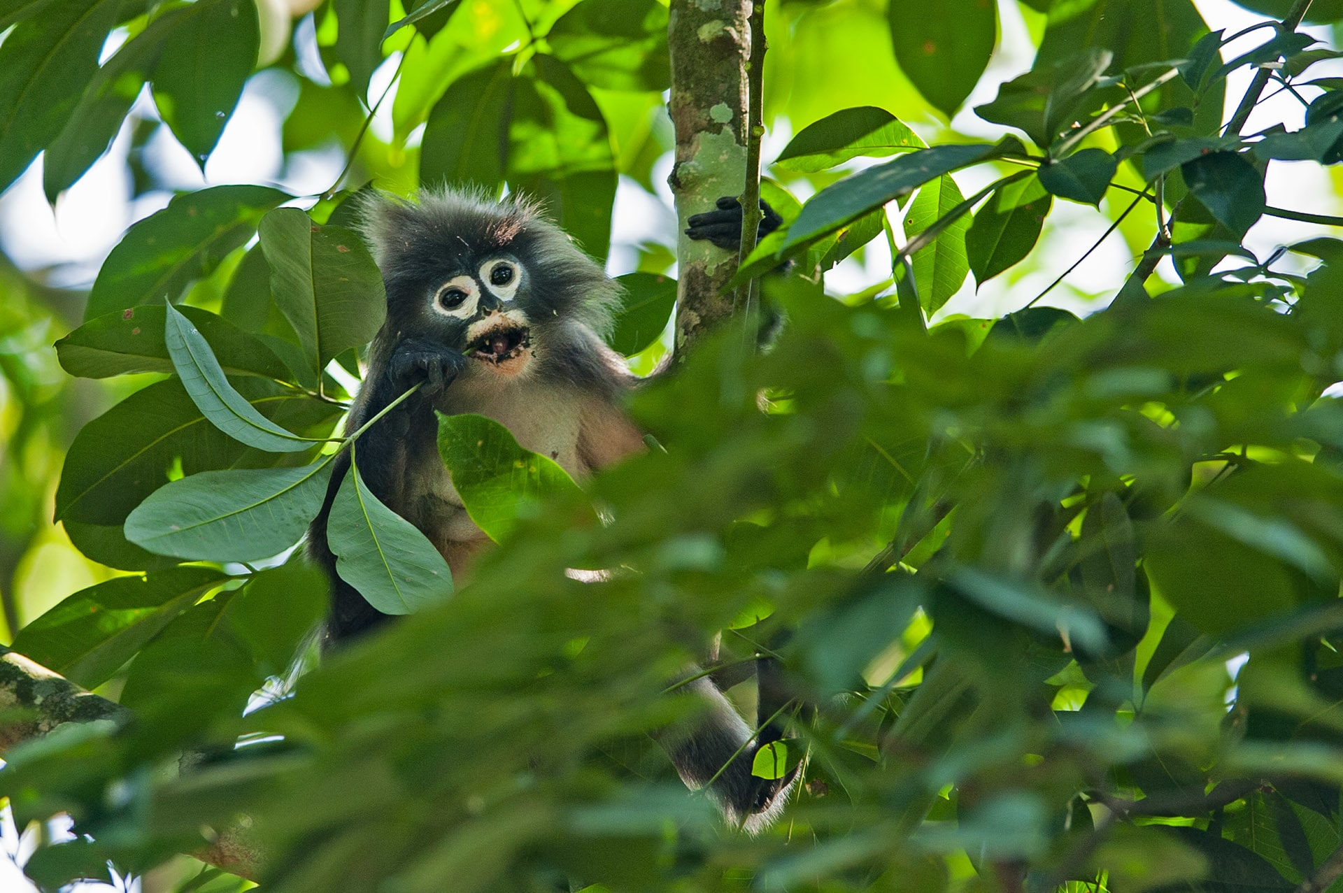 Phayre's leaf monkeys have a unique digestive system that allows them to primarily consume challenging food like leaves.
