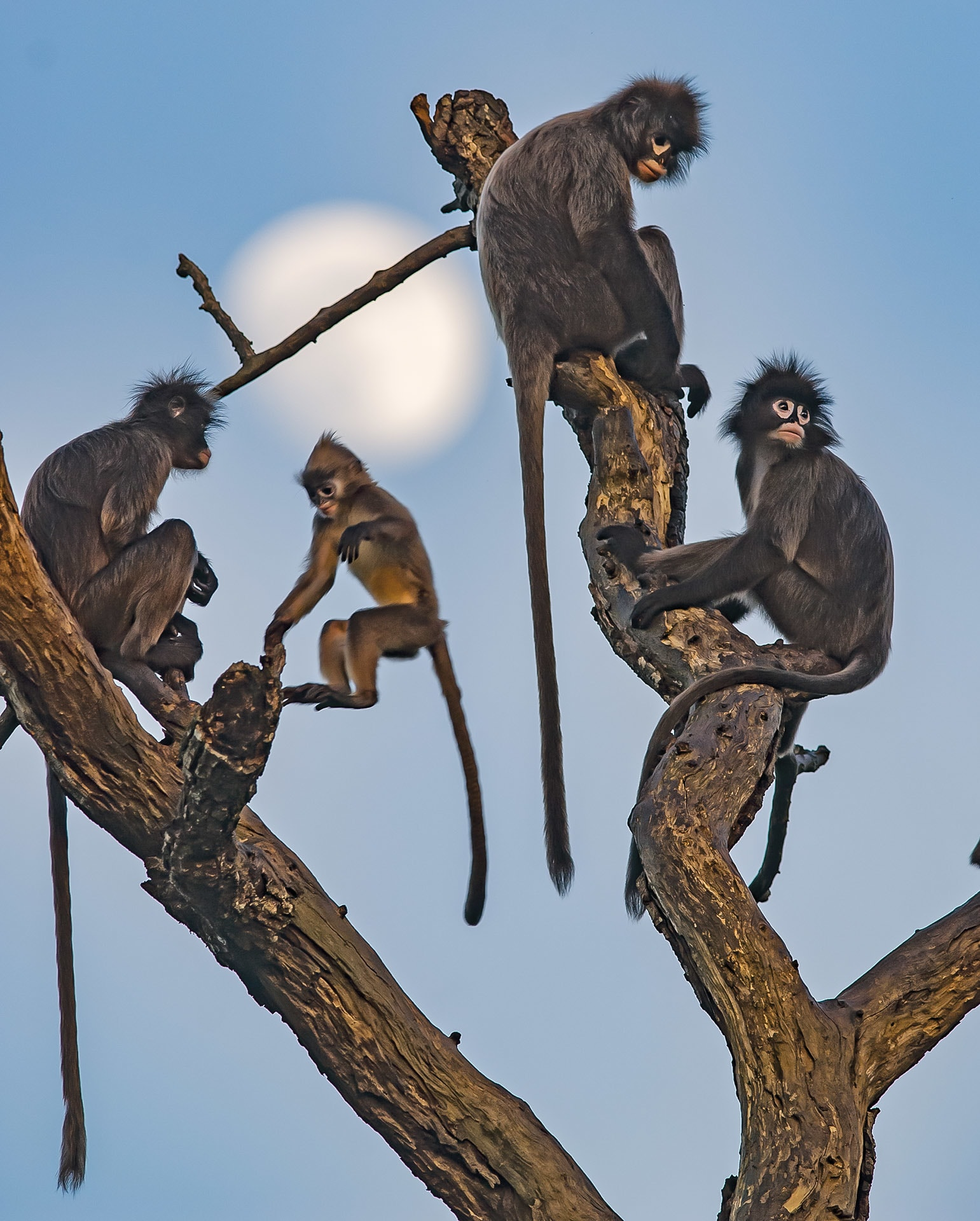 Phayre's langurs live in groups of 6-30 individuals with one or many adult males.