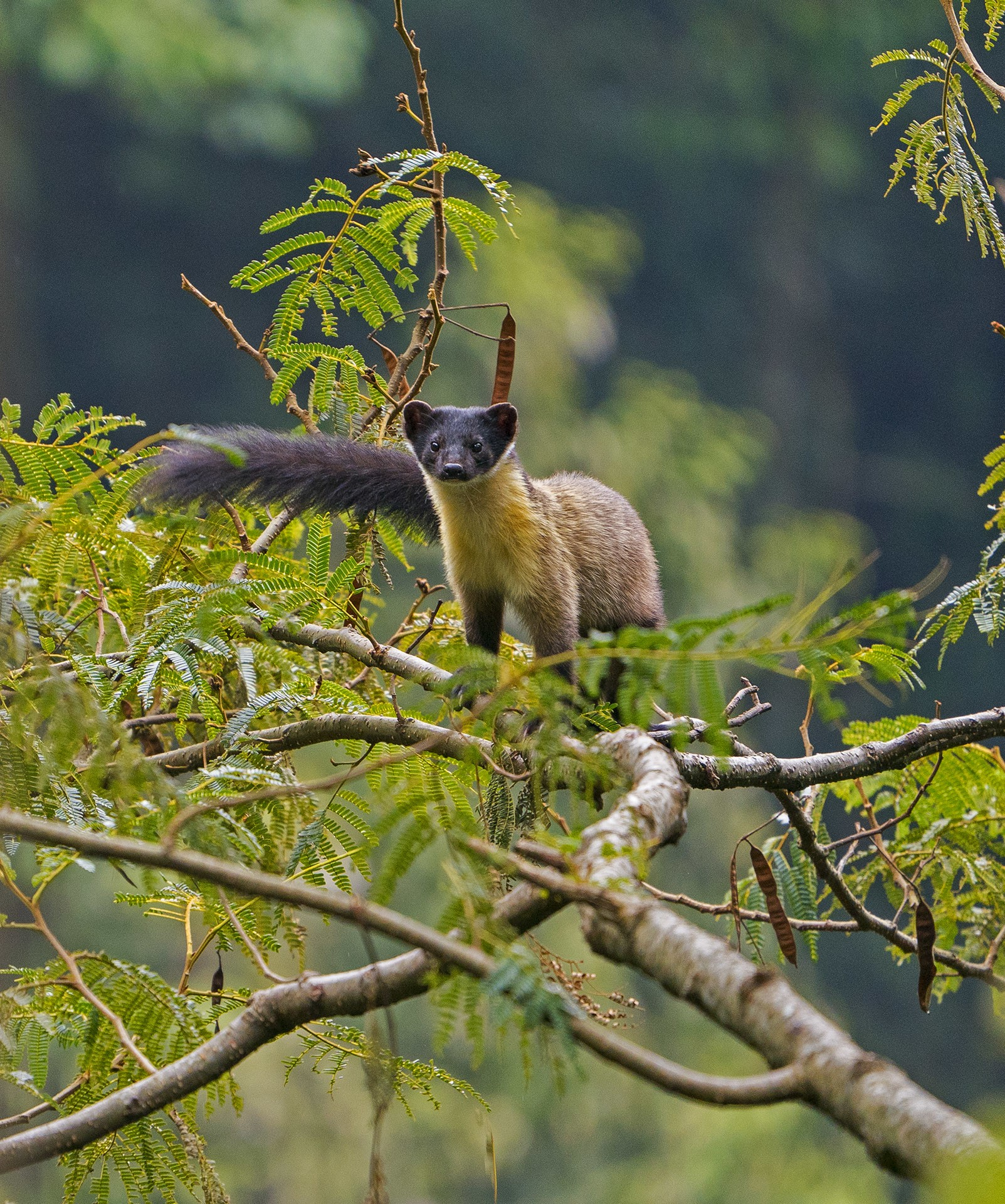 Equally at ease in trees and on the ground, this yellow-throated marten enjoys the view from a treetop in Dibang Valley, Arunachal Pradesh. Photo: Dhritiman Mukherjee  Cover photo: The yellow-throated marten has a long tail which extends to almost two-thirds the length of its body. It has short, powerful legs with broad feet allowing it to scamper up trees with ease. Photo: Dhritiman Mukherjee