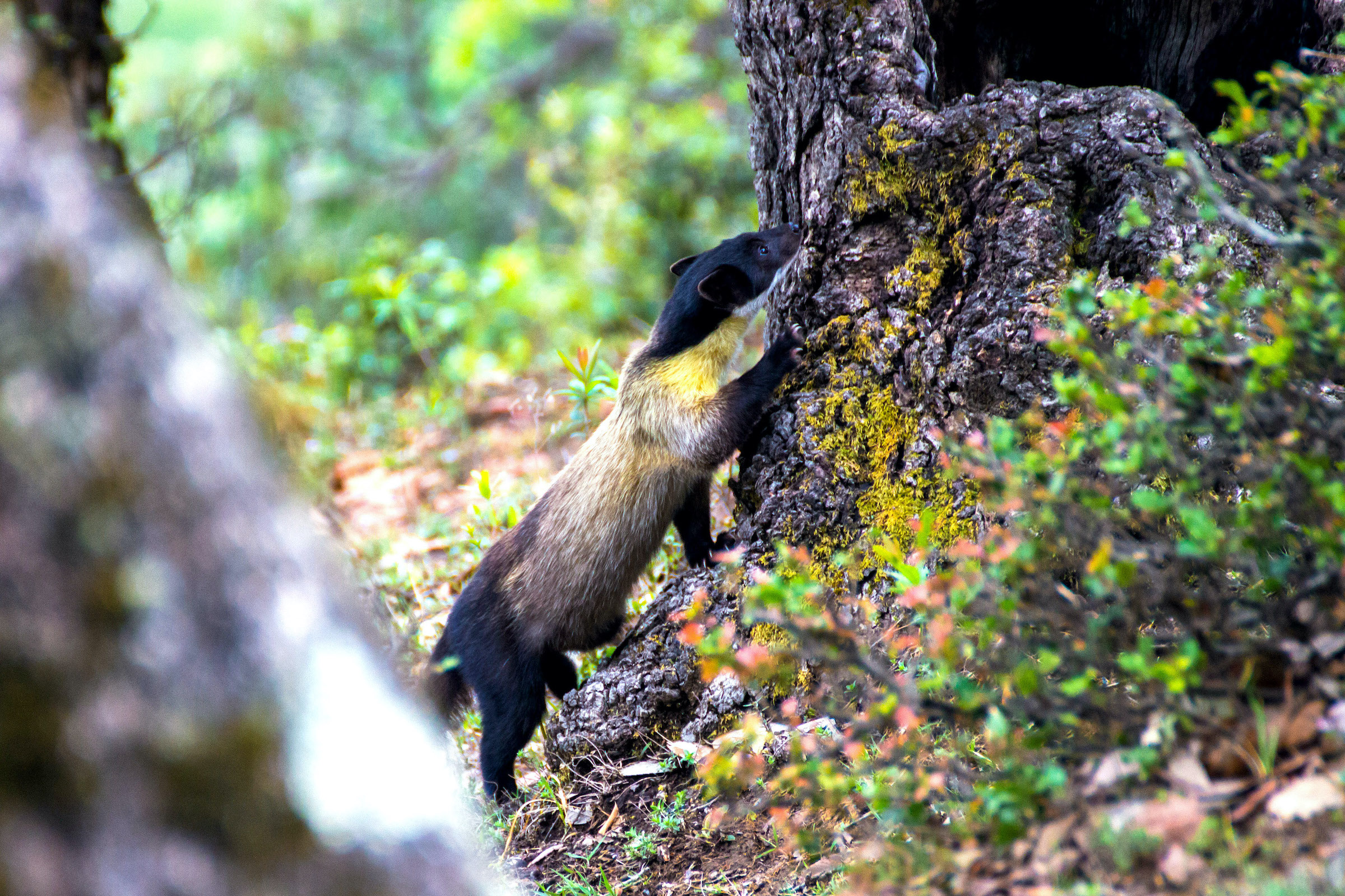 Still oblivious to my presence, the yellow-throated marten forages for his next meal as the birds around him cause an uproar. Photo: Tarun Menon