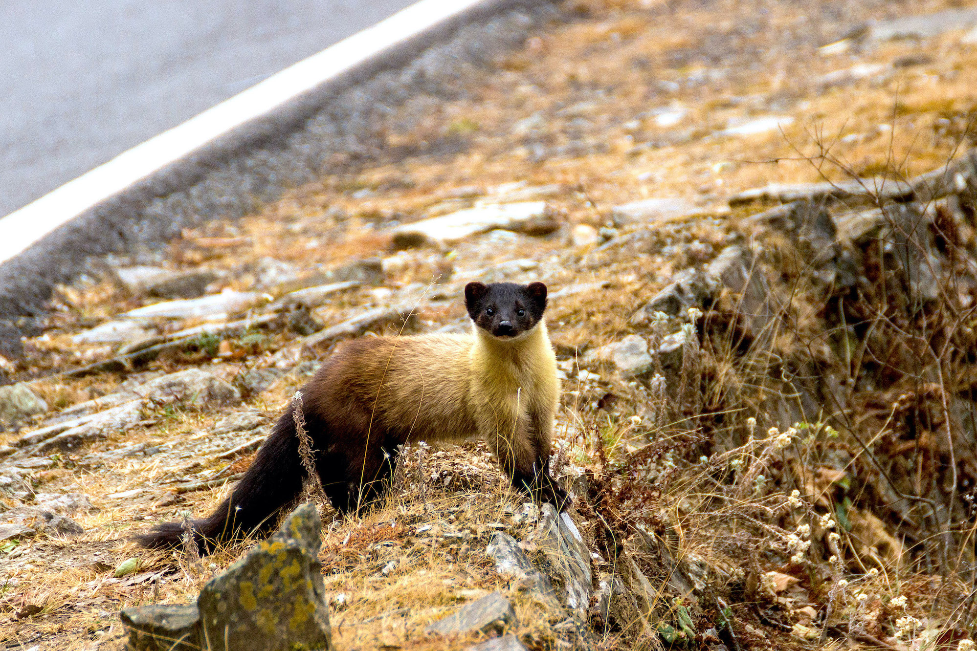 Yellow-throated marten can be quite bold. They are rather unafraid of humans and until one gets too close (as in my case), they are slow to flee. Behind the cute and furry appearance of the yellow-throated marten lurks a fearless and feisty predator that is at the top of the food chain. Photo: Tarun Menon