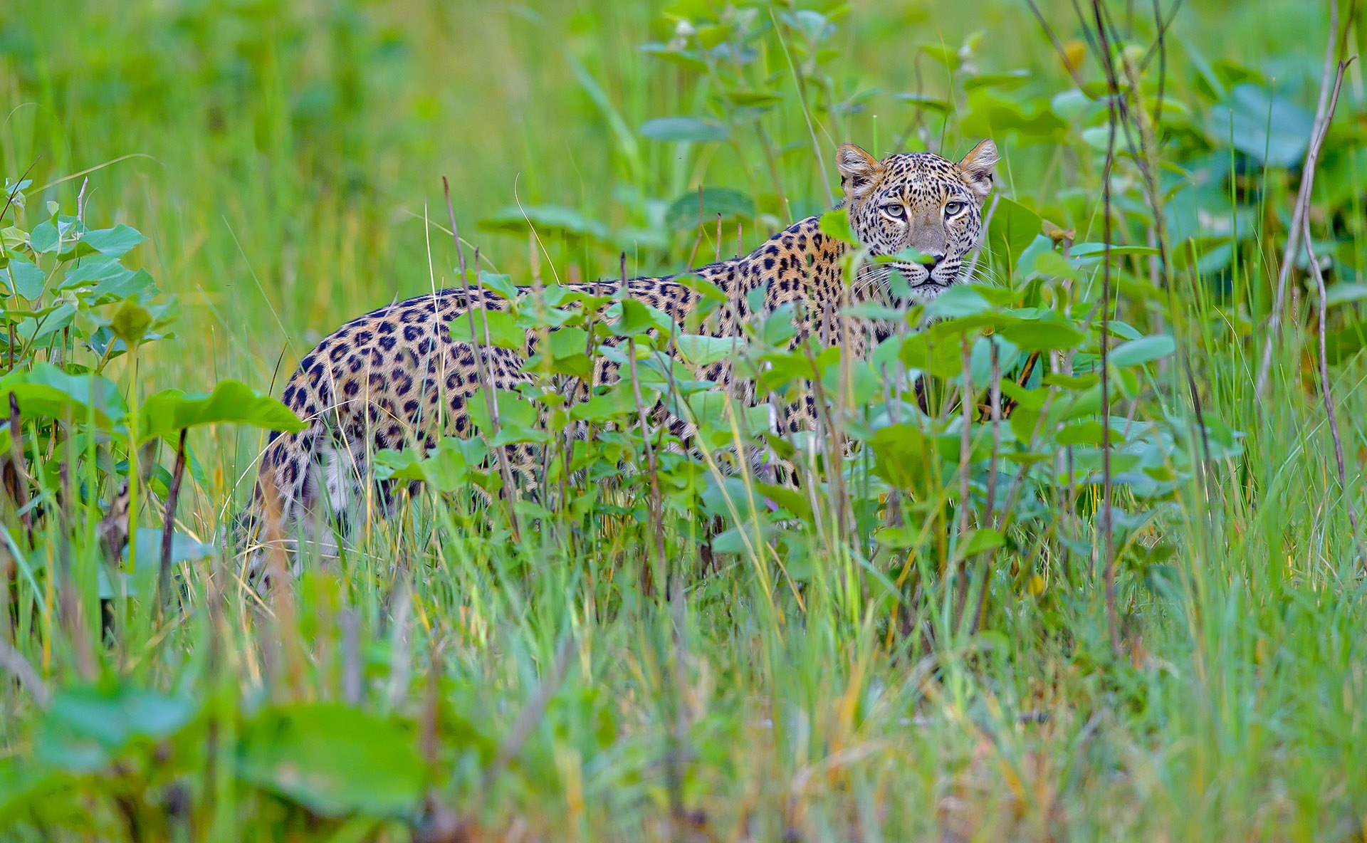 The rosette patterns on the leopard's body help it to camouflage amidst vegetation so that it can stalk, get closer to prey, and hunt successfully.  This photo was taken in Rajaji Tiger Reserve, in Uttarakhand. Photo: Dhritiman Mukherjee