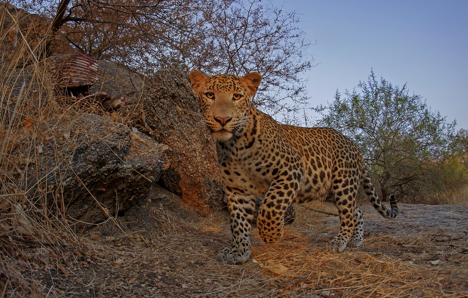 Estimating numbers using camera-traps for a widespread species like leopard should be done at a few selected sites. Photo: Dhritiman Mukherjee
