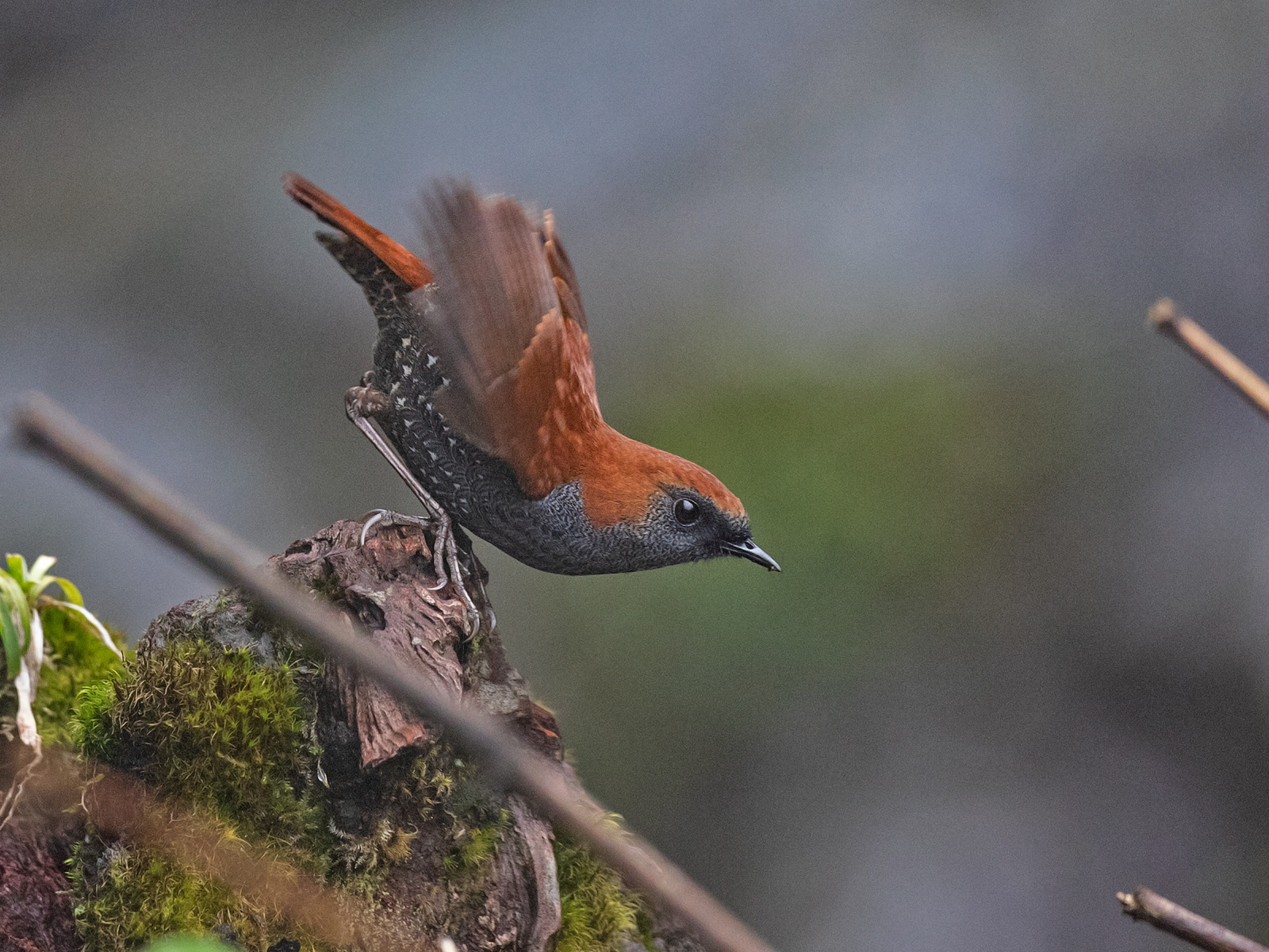 Gould's shortwing is one of the many species of birds found in the biodiverse Dibang Valley. Unfortunately, a recent proposal intends to build a hydroelectric project that may lead to large-scale deforestation and destruction of the pristine habitat.  Photo: Shashank Dalvi