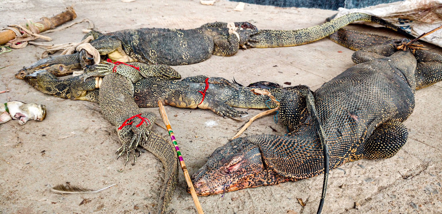 Monitor Lizards (protected under Schedule I, Wildlife (Protection) Act, 1972) are killed by hunters during the 'Faloharini Kali Pujo' in Kolkata as part of the ritual ceremony. These corpses were found on Panskura Railway Station, West Bengal, in June 2016. Monitor lizards are also poached for their meat, skin and other body parts believed to have medicinal properties.  Photo: Meghna Banerjee