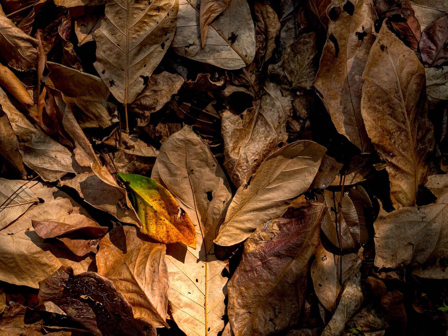 Layers of dry leaves and other plant debris which regulate the flow of nutrients in an ecosystem. Cinnamons, mangoes and bamboos bring their unique dried fragrances to these fundamental processes. Photo: Umeed Mistry