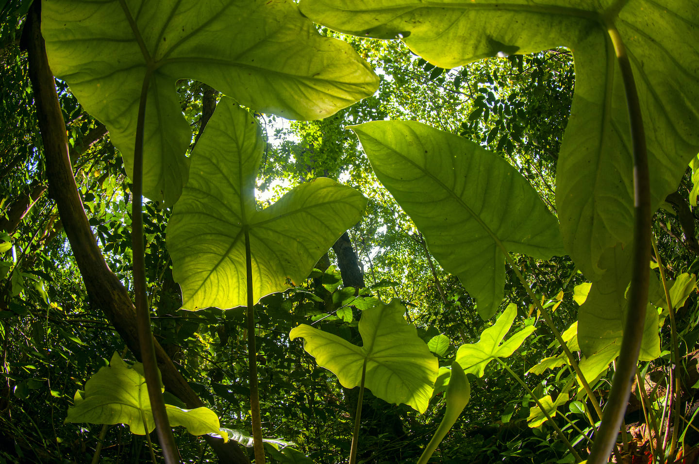 In tropical forests such as those found in the Andaman and Nicobar Islands, where sunlight doesn't easily reach the forest floor, plants such as the wild colocasia have their task cut out. Photo: Umeed Mistry