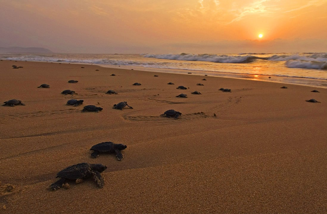 Olive Ridley turtles only come to land to nest — but when they do, several hundred turn up together. The mass nesting phenomenon is called 'arribada' or 'the arrival' and Rushikulya beach in Odisha is one of their most important sites in India. Photo: Dhritiman Mukherjee