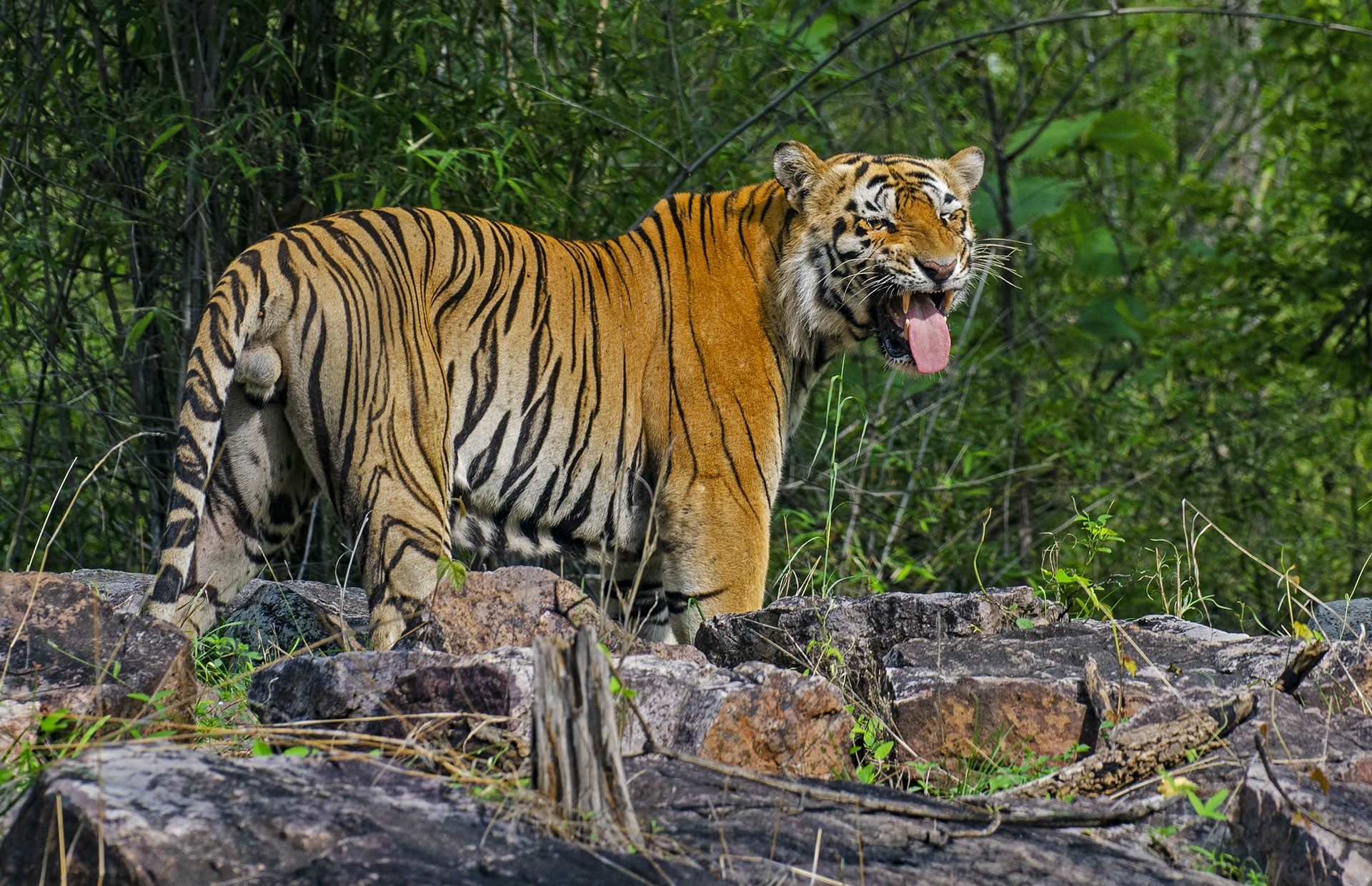 Most parks have five or six dominant males, but in Tadoba, each of the three ranges has at least five dominant males.