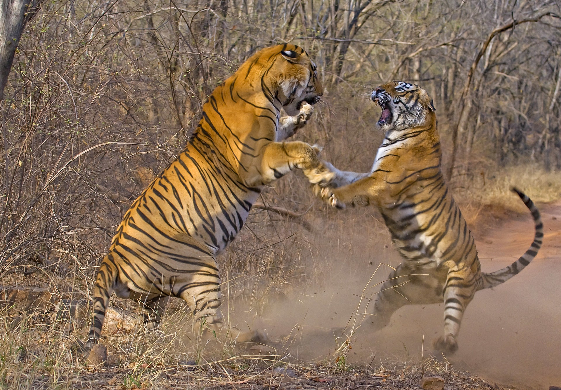 A sub-adult male tiger (left) in a territory battle with the legendary tigress Machli (right) at the Ranthambhore National Park in 2009. Dhritiman was one of the only photographers to get this award-winning shot.
