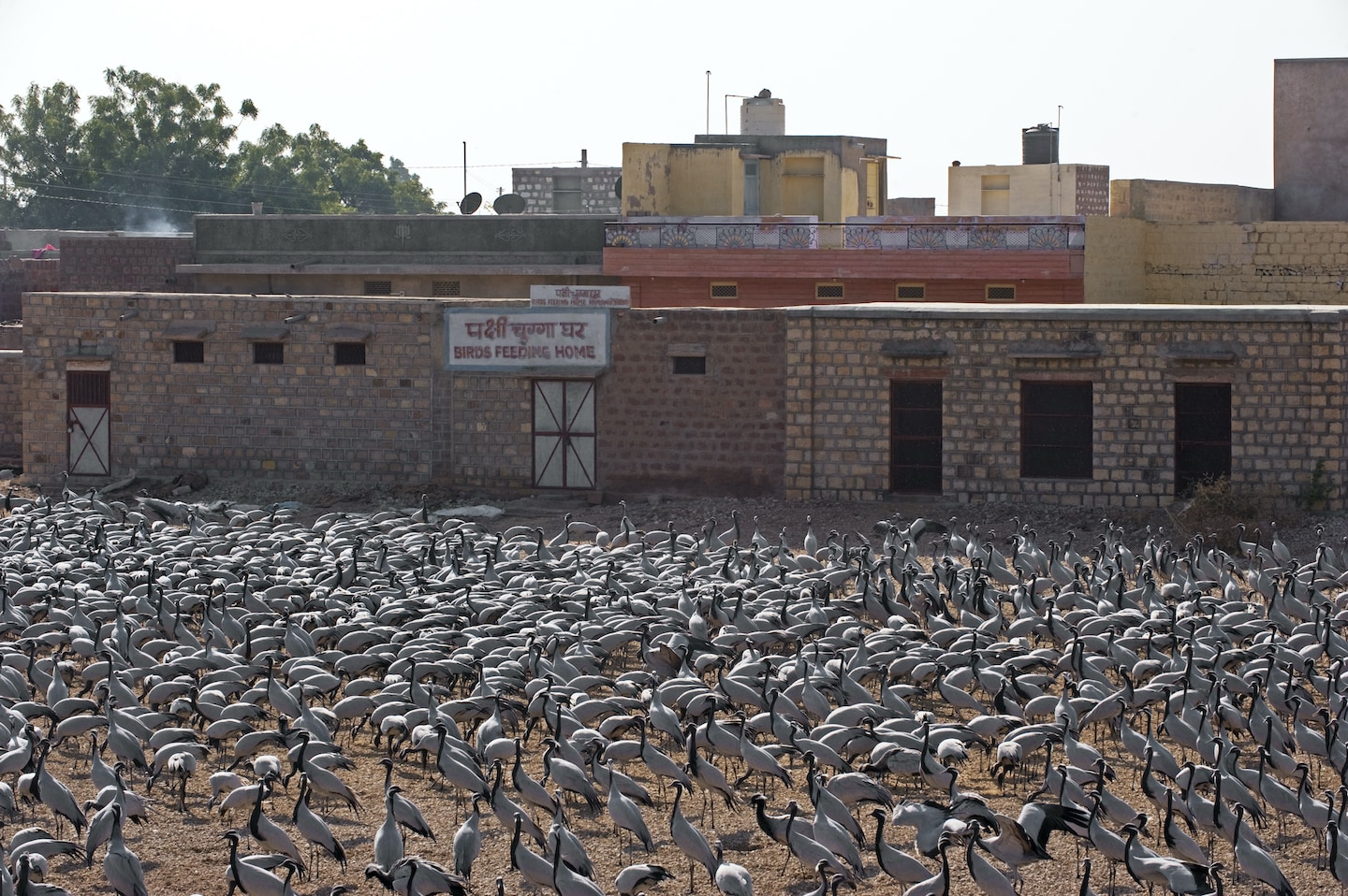 While one flock of cranes gorges at the feeding site at the edge of the village, others wait their turn on a dune nearby.  Photo: Dhritiman Mukherjee   Below: Demoiselle cranes landing and feeding in Keechan. Video: Surya Ramachandran