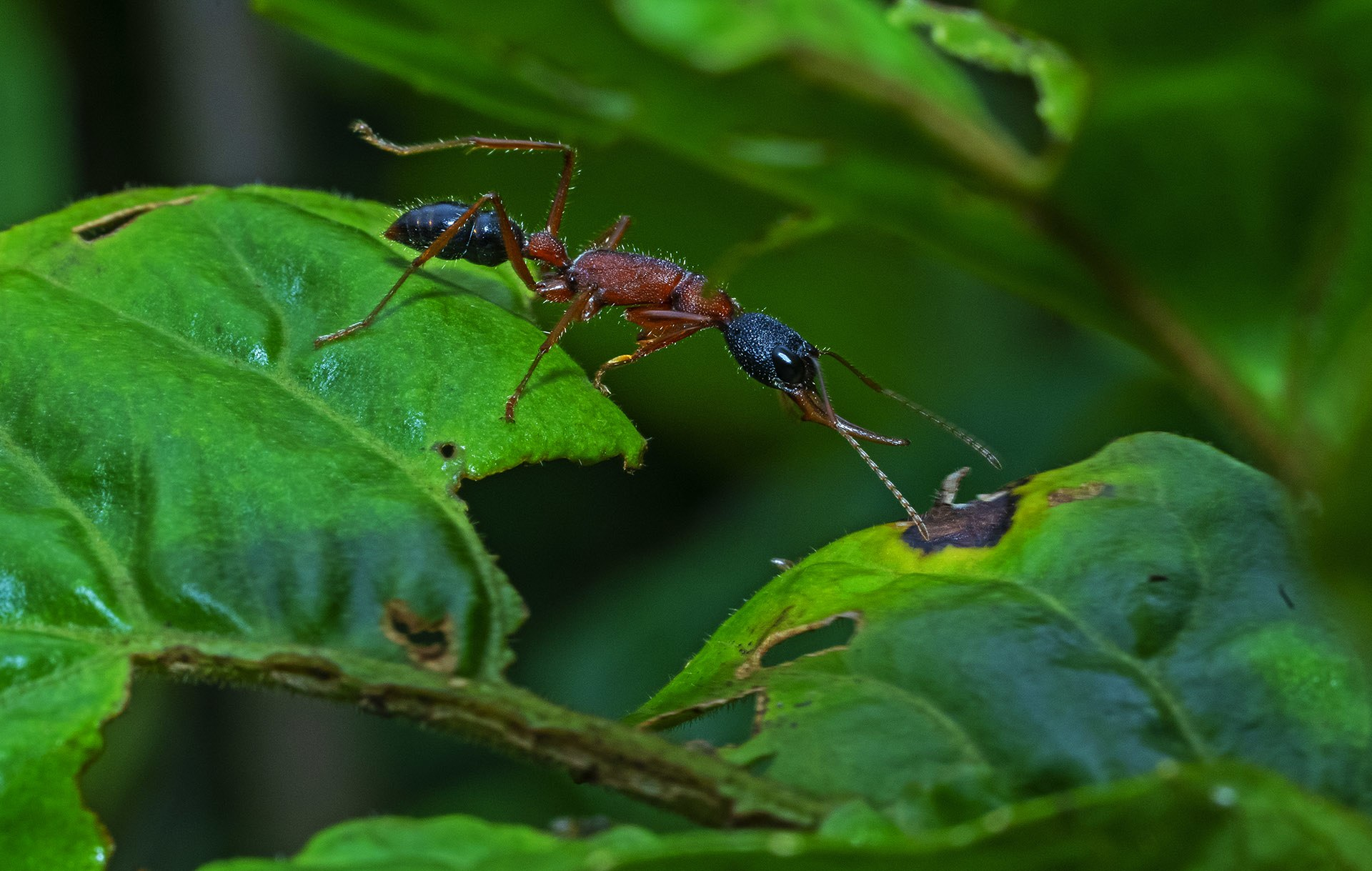 The Jerdon's jumping ant (Harpegnathos saltator) is an extremely efficient predator on the ground thanks to its elongated body, big eyes, long mandibles and ability to leap a few inches. What's also unique to this species of ants is that the workers and the queen of this species mate with each other.