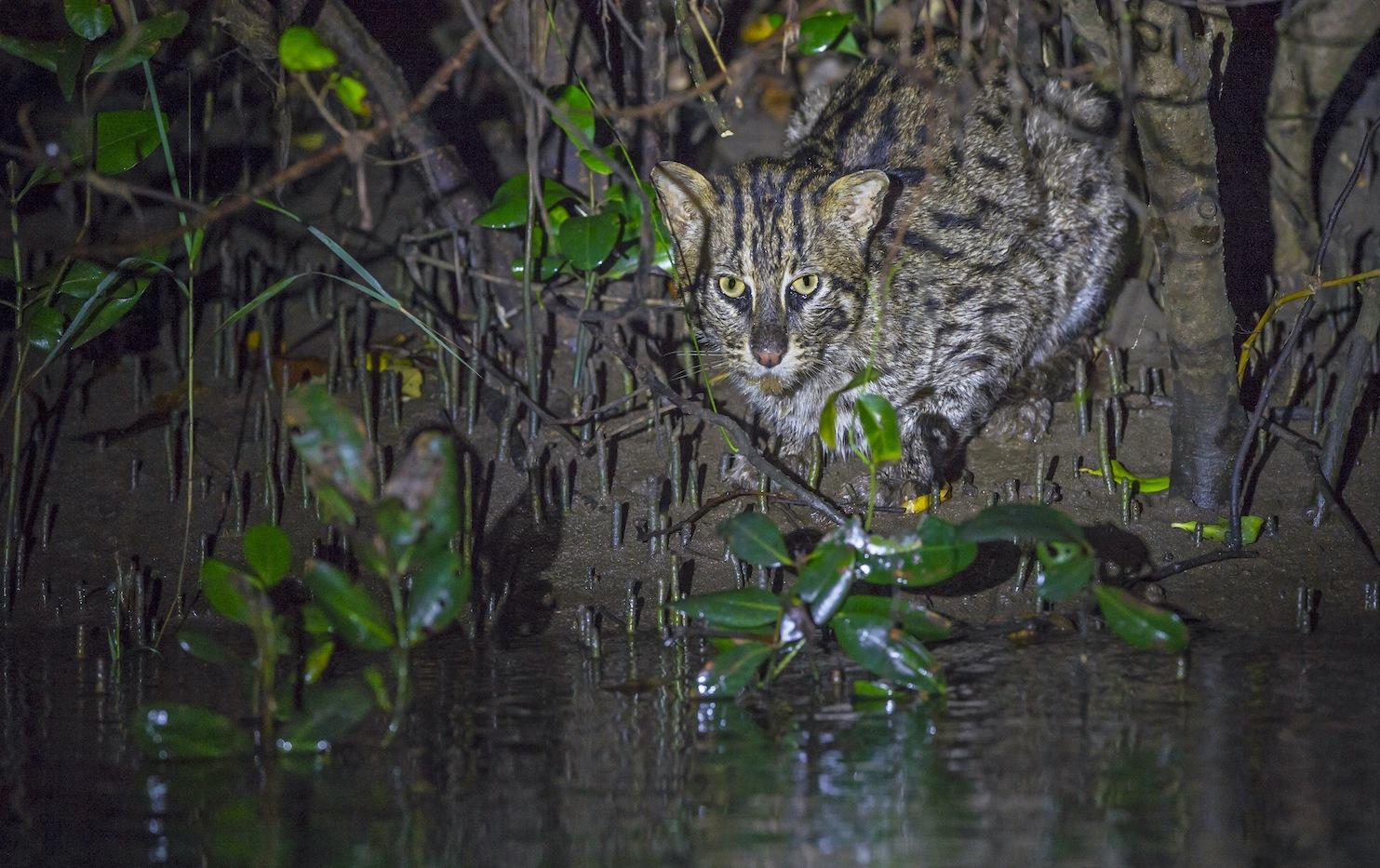 "In the coastal mangrove forests of Coringa, the movements of fishing cats ⁠— and many other species ⁠— are determined by tides, as the water levels change every six hours. During high tide, the cats can be found on branches of trees or curled up on raised land. When the tide recedes, they seek out shallow pools of water to hunt for fish. ""I have seen lots of nocturnal activity among fishing cats,"" says Mannepuri. ""But I also have hundreds of examples of day activity in camera traps."" Photo: Dhritiman Mukherjee  Cover Photo: Fishing cats belong to the genus Prionailurus, which includes three other species of small wild cats — leopard cat, rusty spotted cat, flat-headed cat — all from Asia. The fishing cat is the state animal of West Bengal, where it is called mach bhagrol. Cover Photo: Anjani Kumar"