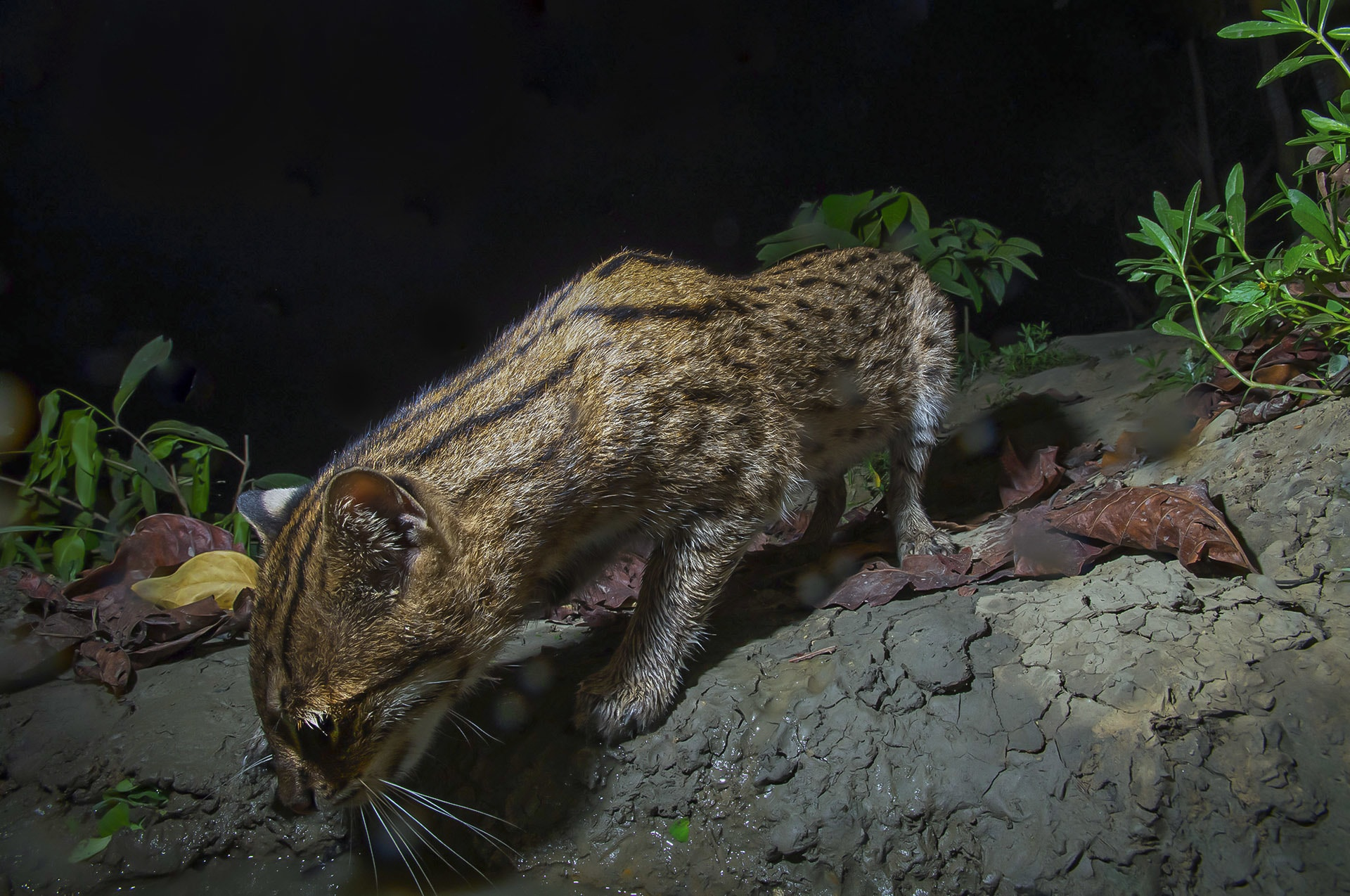 "Part of the reason we know so little about fishing cats is because they are notoriously difficult to find. This is true of most small wild cat species in the genus Prionailurus, says Mannepuri. ""It is only because of camera trapping that we are now able to monitor their movements,"" he adds.  Initially Mannepuri struggled to photograph the species. ""But now that I am familiar with this habitat, I know their movements,"" he says. Once sighted the cats are quite comfortable with human presence. ""They are wary for the first five-ten minutes, but if you maintain a respectable distance, they are not bothered at all. I have followed cats for hours, sometimes from 7p.m. until dawn,"" he says. Photo: Tukai Biswas"