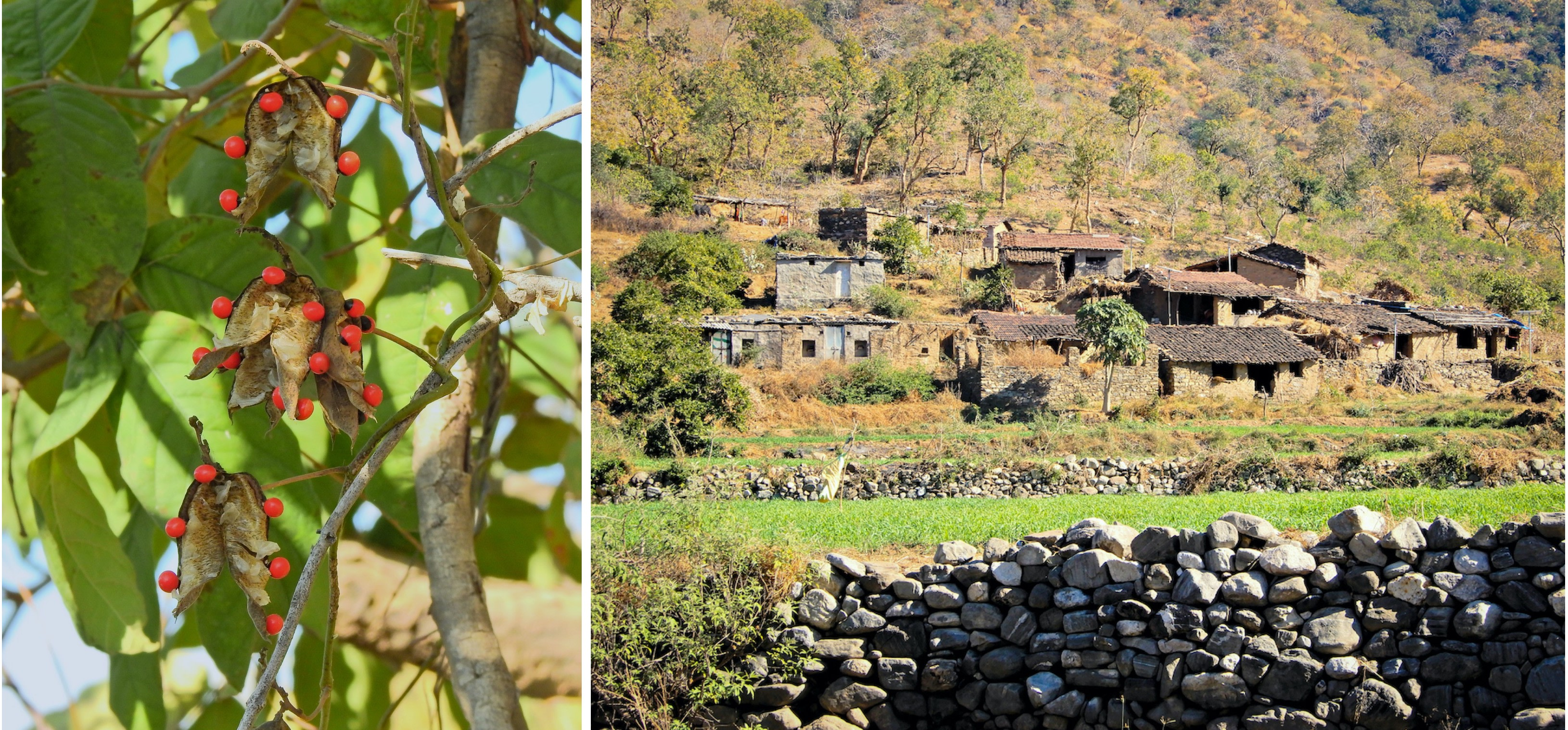 "(Left) Abrus precatorius or the jequirity bean is best known for its brightly coloured, toxic seeds. Locally known as the ""chirmi"", the plant is associated with a traditional Rajasthani folk song and its seeds were formerly used to weigh gold. (Right) Human settlements within the two sanctuaries, coupled with livestock grazing, adversely affect the movement patterns of wildlife.  Photos: Dr Sumit Dookia (left), Anirudh Nair (right)"