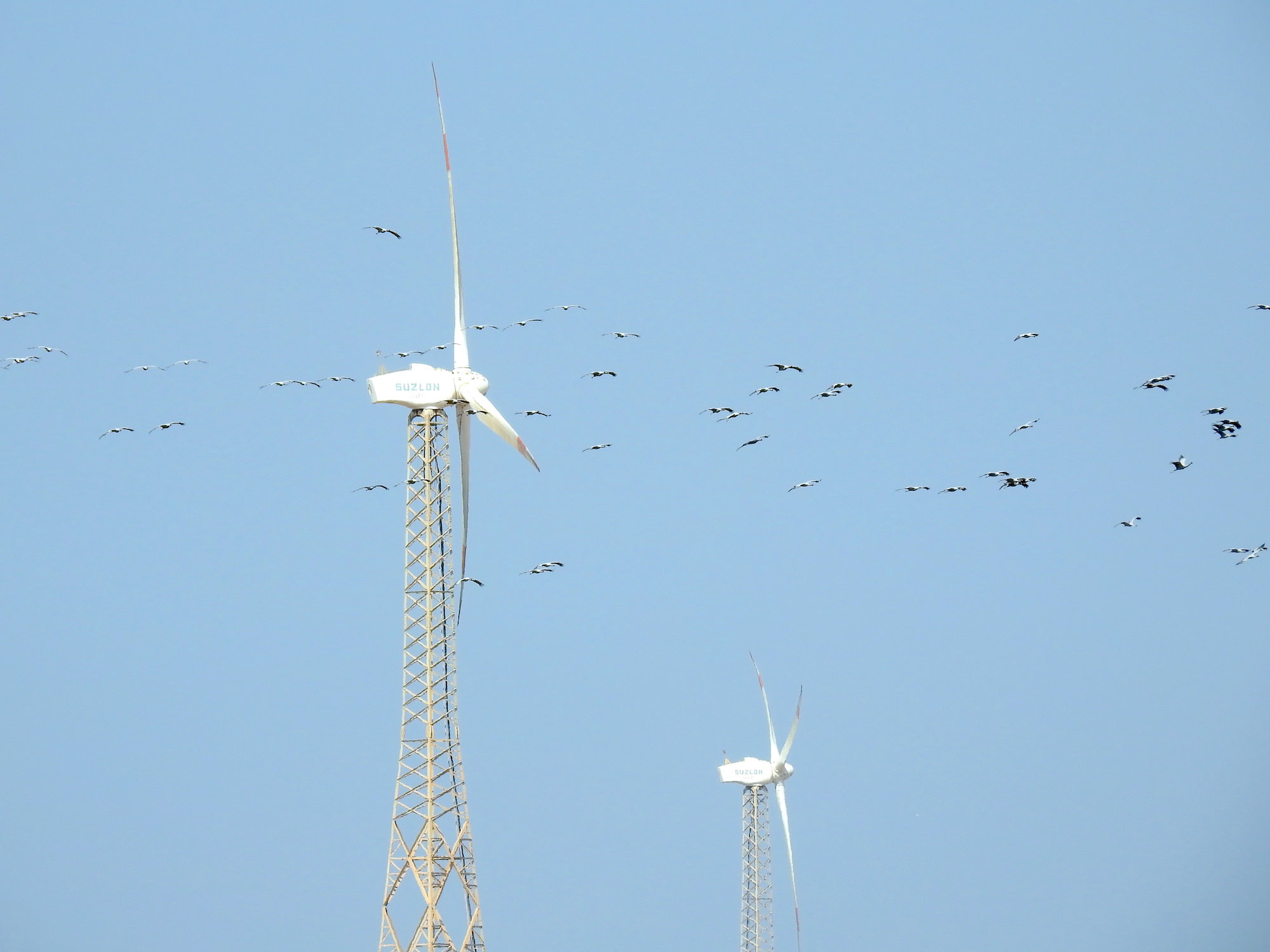 Large windmills or turbines can pose a danger to demoiselle cranes that fly close to them. Photo: Dr. Raju Kasambe/CC BY-SA 4.0  The  sleepy  village  of  Kheechan  comes  alive  every  year  with  the  arrival  of  the demoiselle cranes. Pictured above is a demoiselle crane feeding centre in the village. Video: Surya Ramachandran