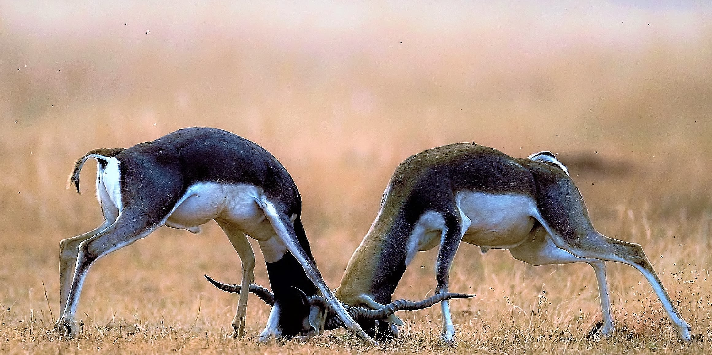 Blackbucks are an endangered species endemic to the Indian subcontinent. Male blackbucks establish dominance, territory, and access to females during the rutting season through fights.