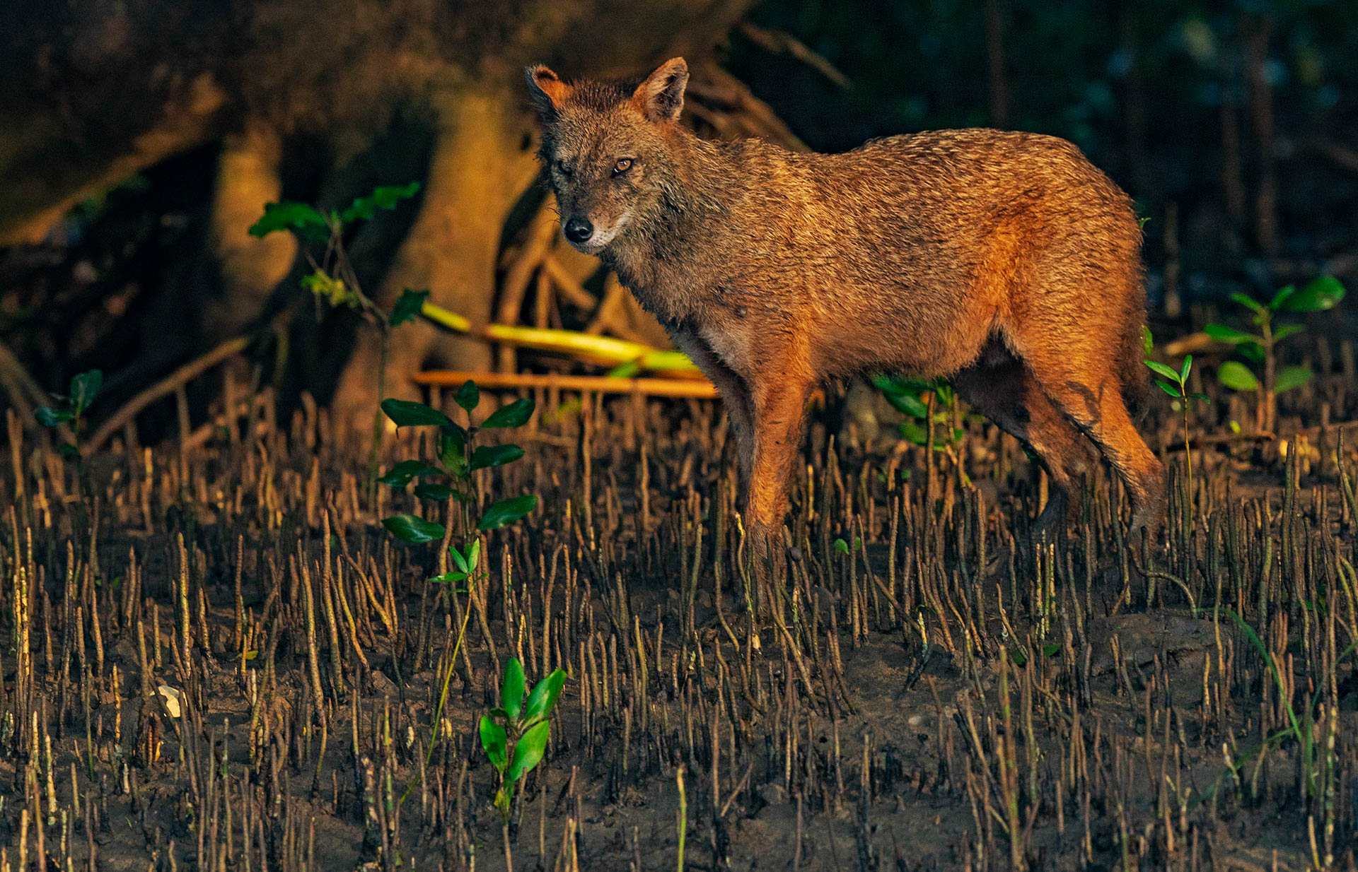 The golden jackal (Canis aureus) is another top predator in Coringa's ecosystem. Its howl is sometimes heard ringing through the forest, but it is hard to spot these stealthy canines in the dense mangroves. Photo: Dhritiman Mukherjee