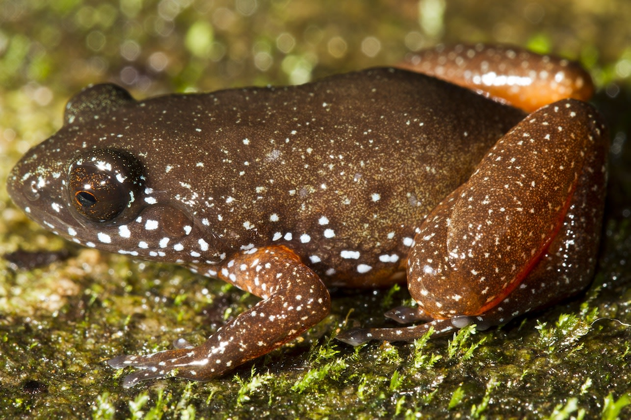 Astrobatrachus kurichayana is a new genus of frog from the Western Ghats, with just one species known so far. The frog was recently described by SP Vijayakumar, Kartik Shanker, and their collaborators in India and abroad. It is a beautiful but secretive frog found in Kurichiyarmala, and is named after the kurichiya tribe. Photo: SP Vijayakumar  Cover photo: Kartik Shanker in October 2018. Cover photo: Manini Bansa